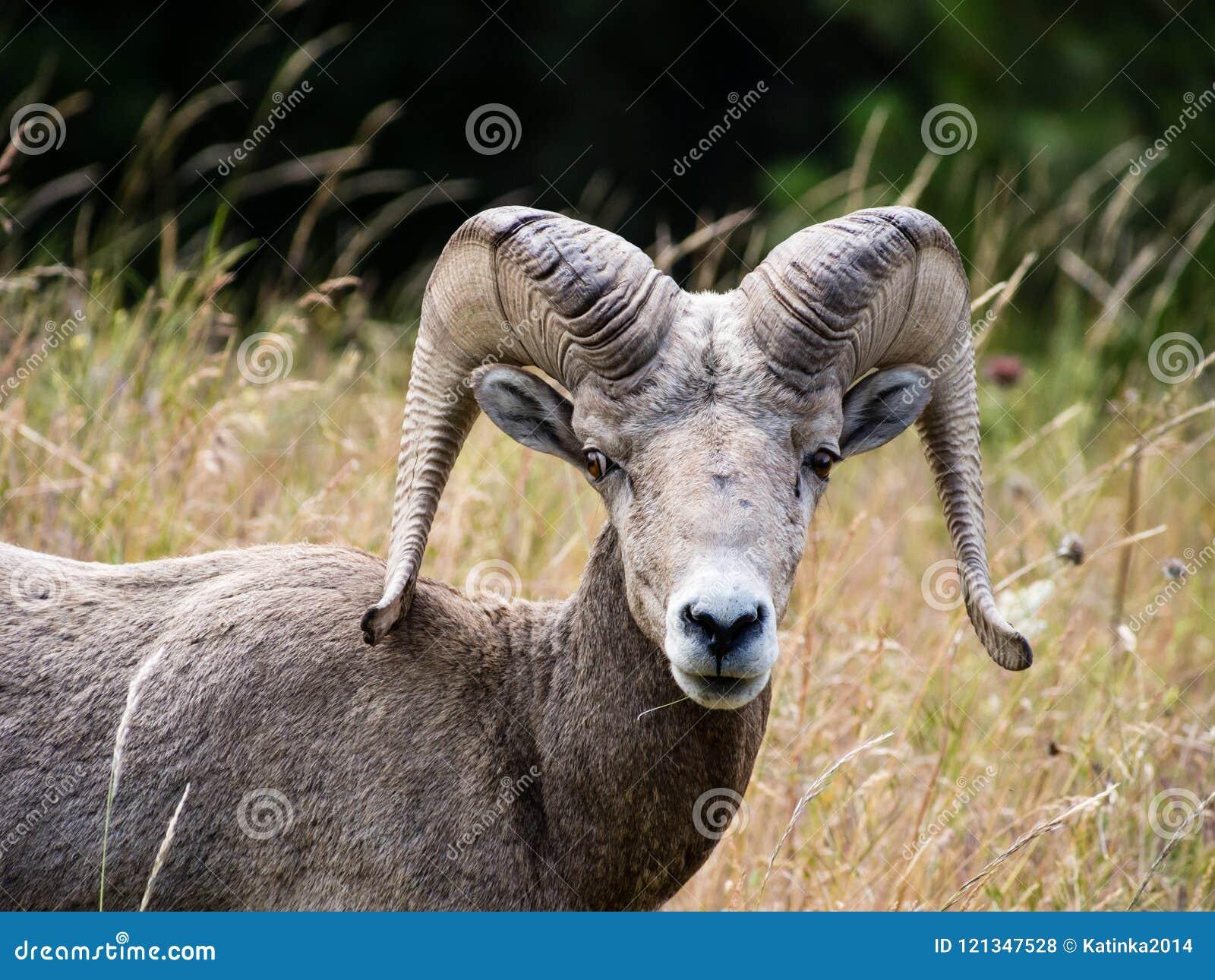 Αμερικανικά πρόβατα bighorn σε ένα λιβάδι