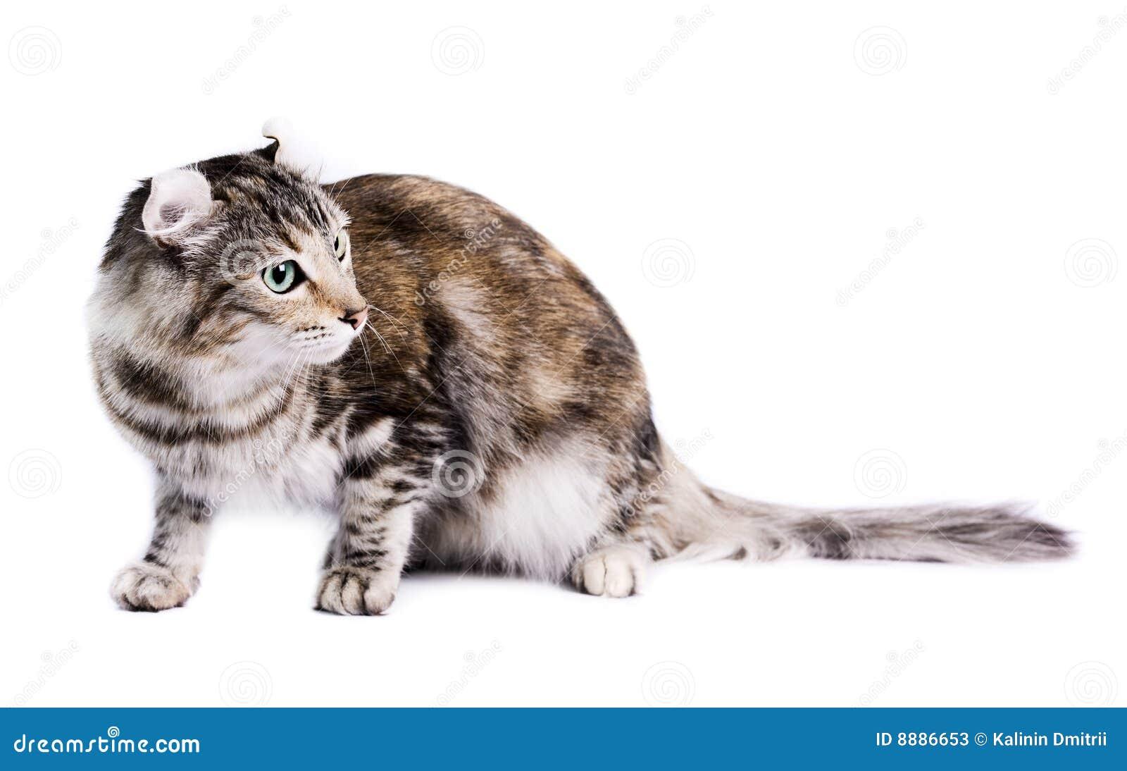 αμερικανική μπούκλα γατών