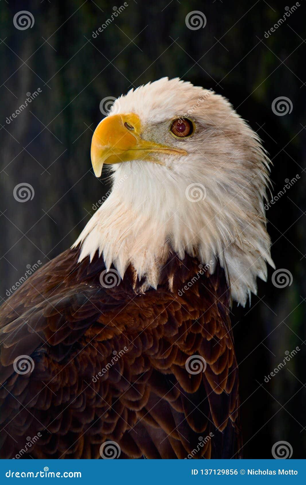 Αμερικανικός φαλακρός αετός που φαίνεται αριστερός