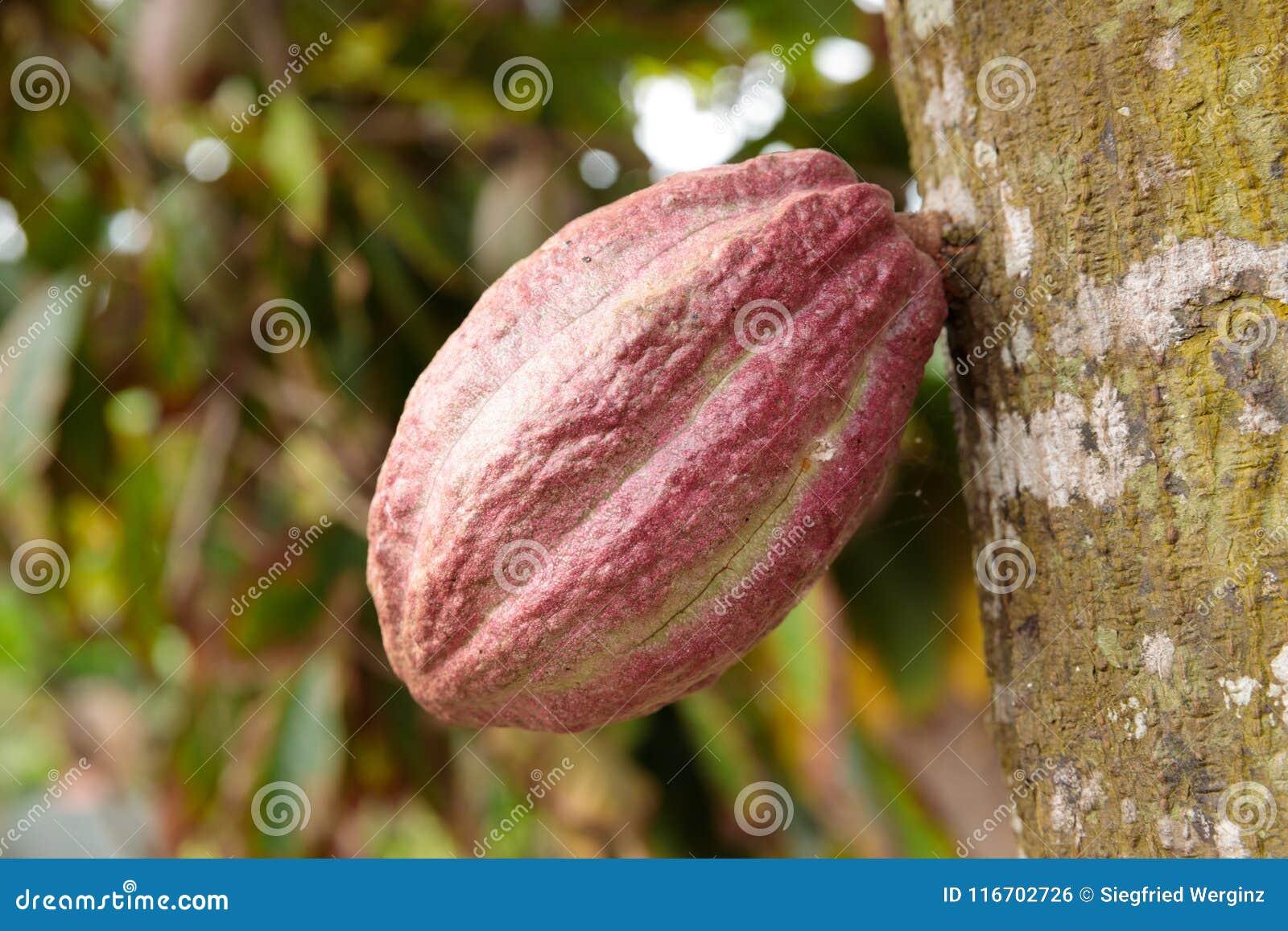 Ανάπτυξη λοβών κακάου από το δέντρο στην Κούβα