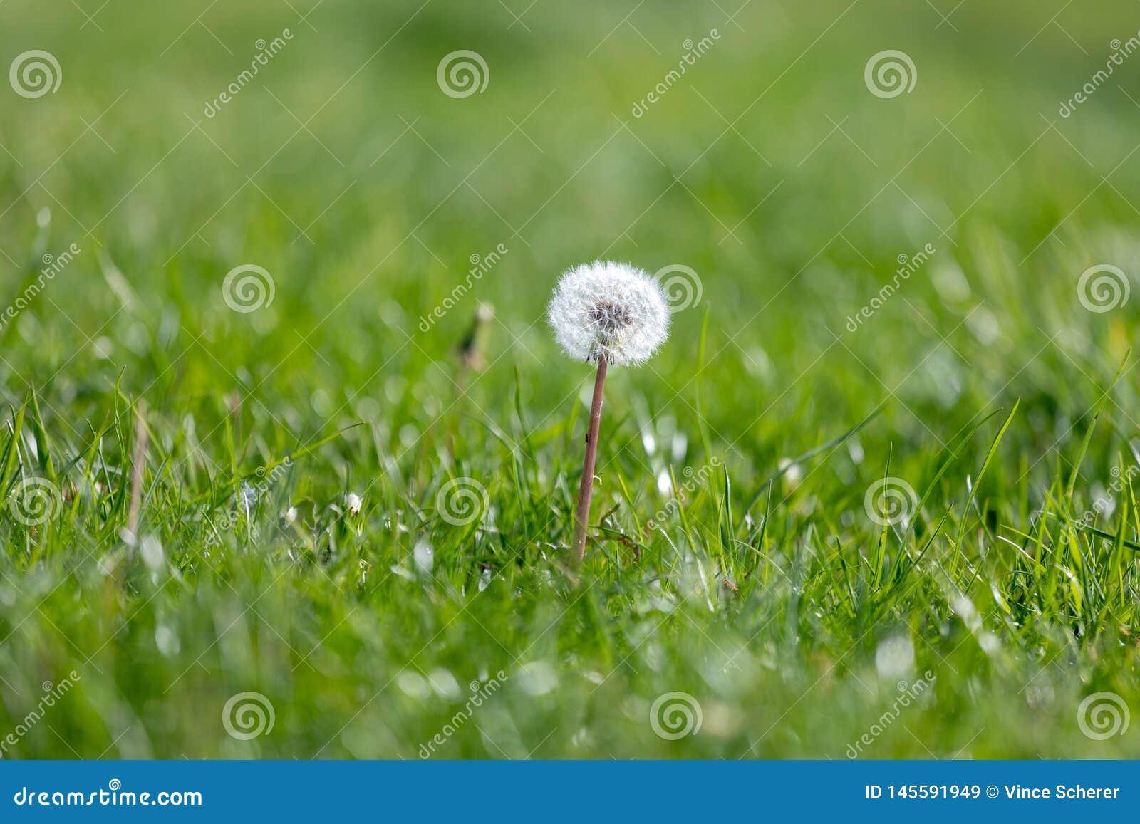 Ανάπτυξη λουλουδιών πικραλίδων μεταξύ της χλόης άνοιξη, μακρο λεπτομέρεια της πικραλίδας, επάνω στενή πικραλίδα