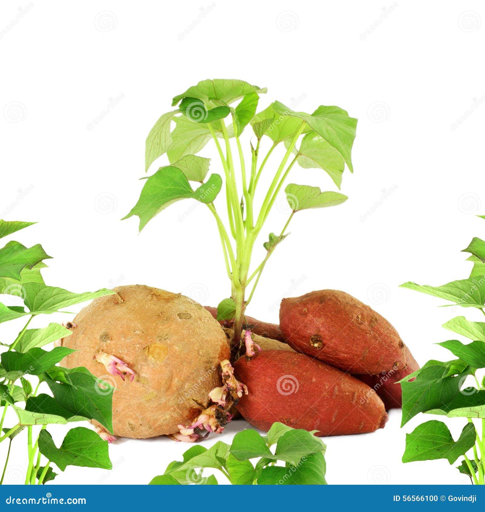 Download ανάπτυξη της γλυκιάς πατάτας με τους βλαστούς στο άσπρο υπόβαθρο Στοκ Εικόνες - εικόνα από κήπος, τρόφιμα: 56566100