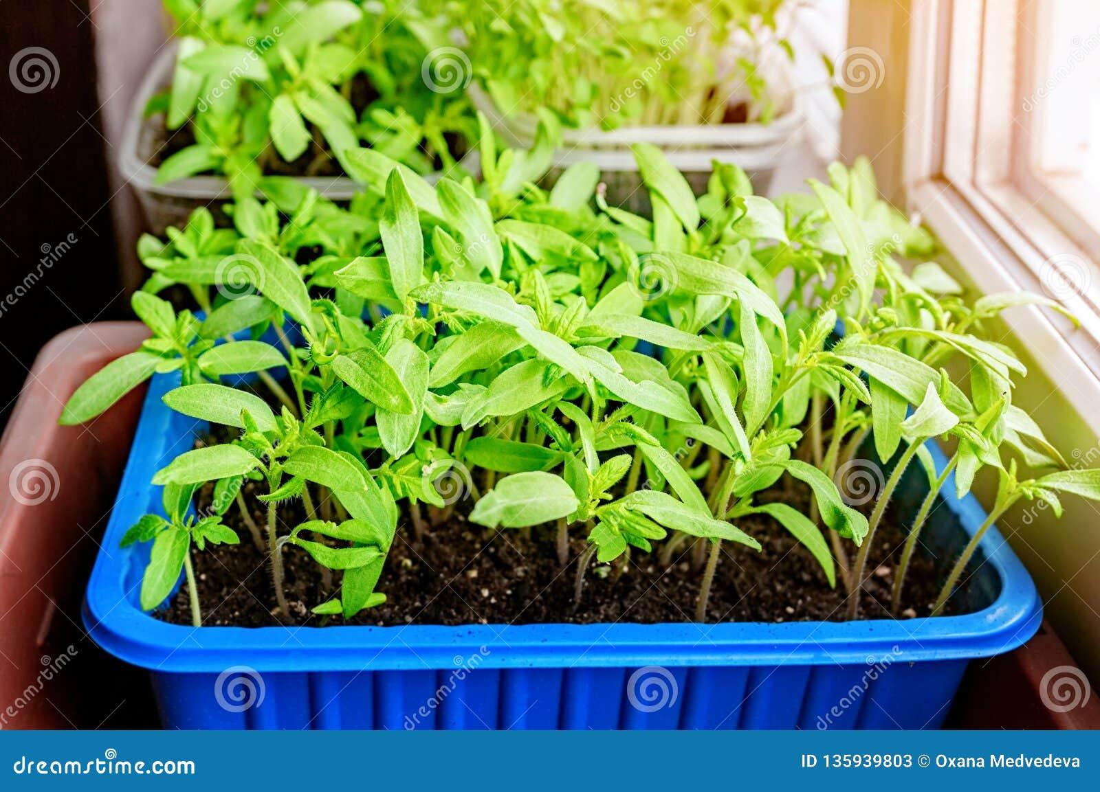 Ανάπτυξη των σποροφύτων των ντοματών και των πιπεριών στο windowsill στα πλαστικά δοχεία