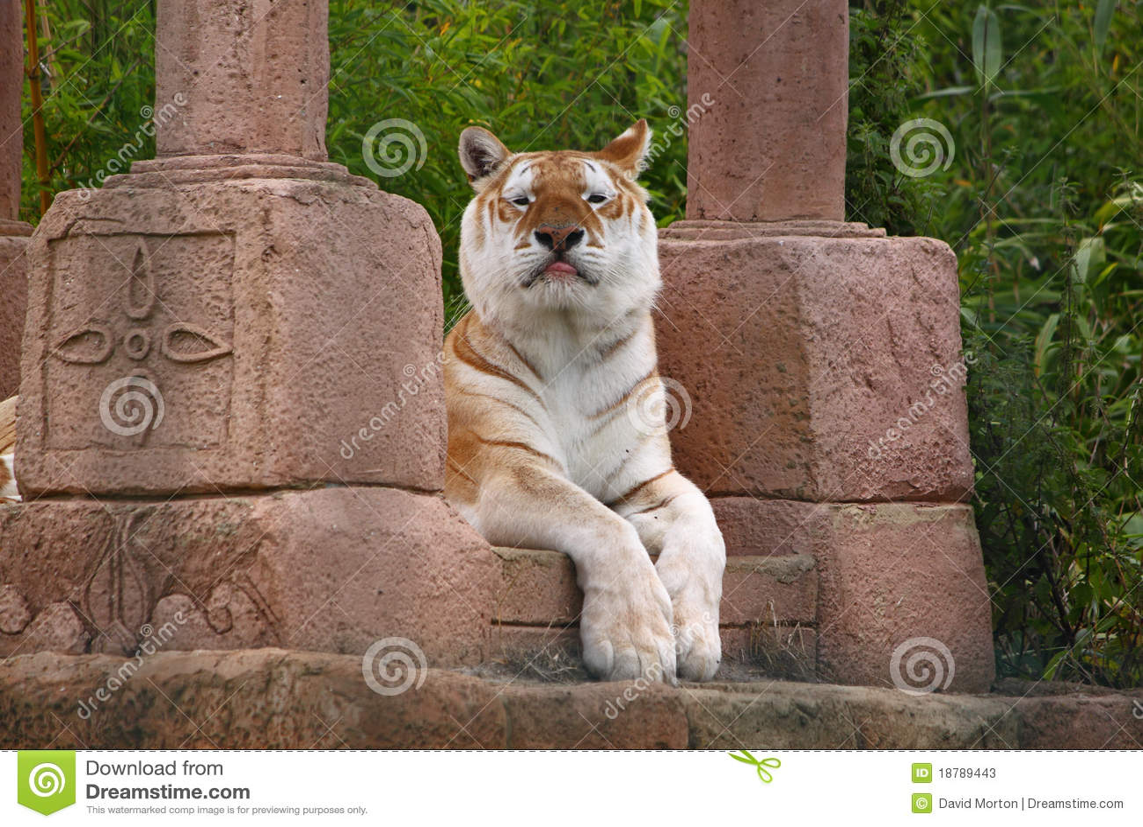αναιδής τίγρη