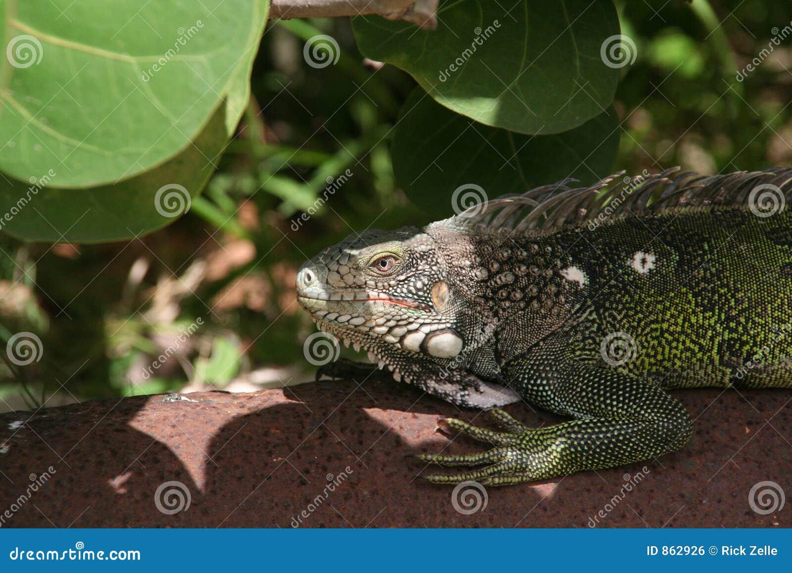 αναμονή iguana