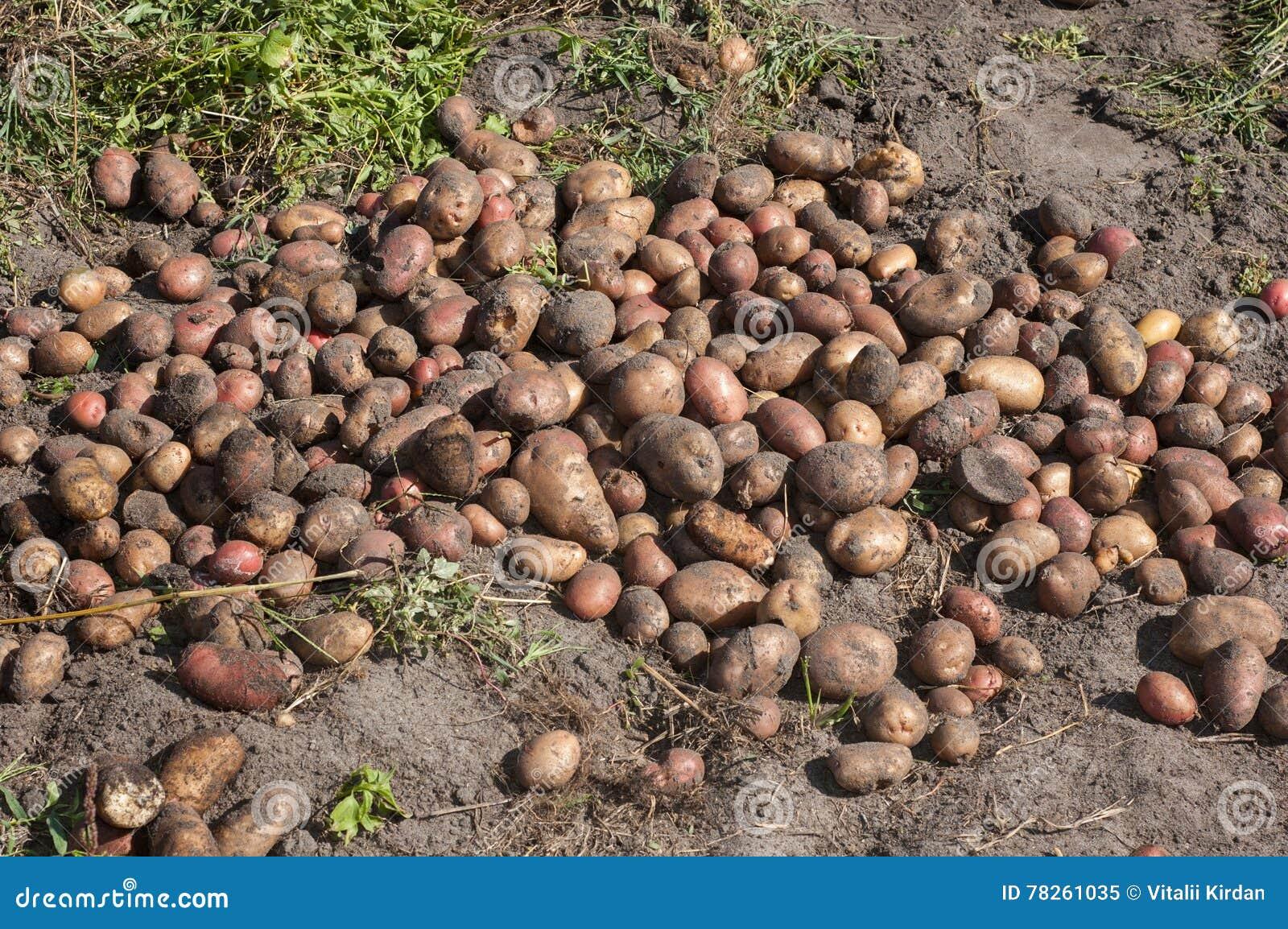Ανασκαμμένος και συλλεχθείς τις πατάτες