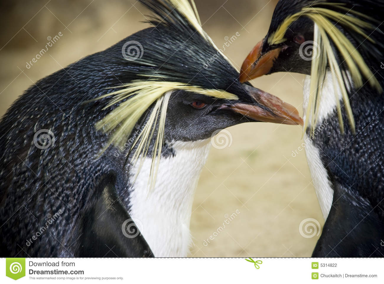 ανατολικά penguins rockhopper
