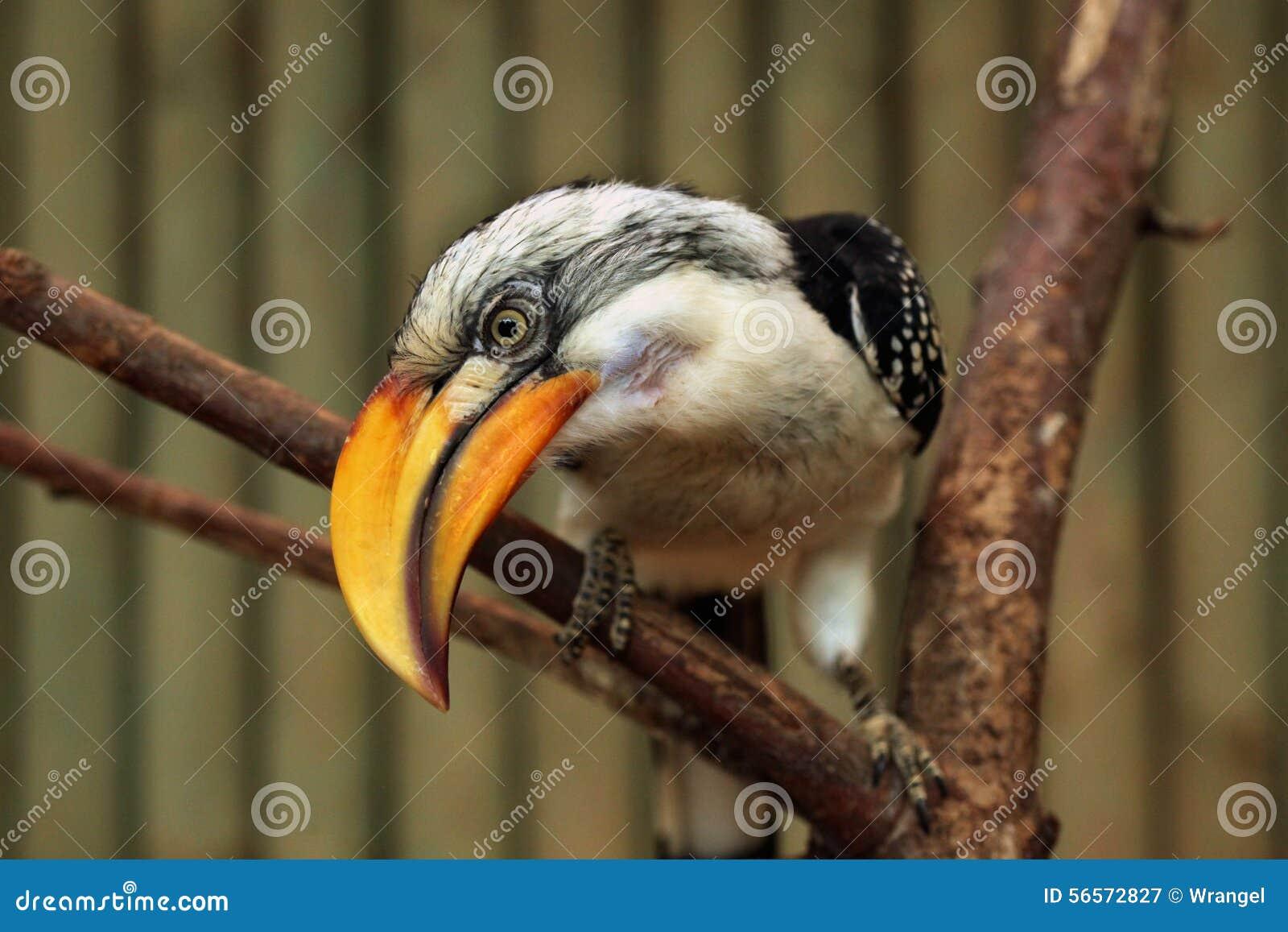 Download Ανατολικό κίτρινος-τιμολογημένο Hornbill (Tockus Flavirostris) Στοκ Εικόνα - εικόνα από eritrea, αιθιοπία: 56572827