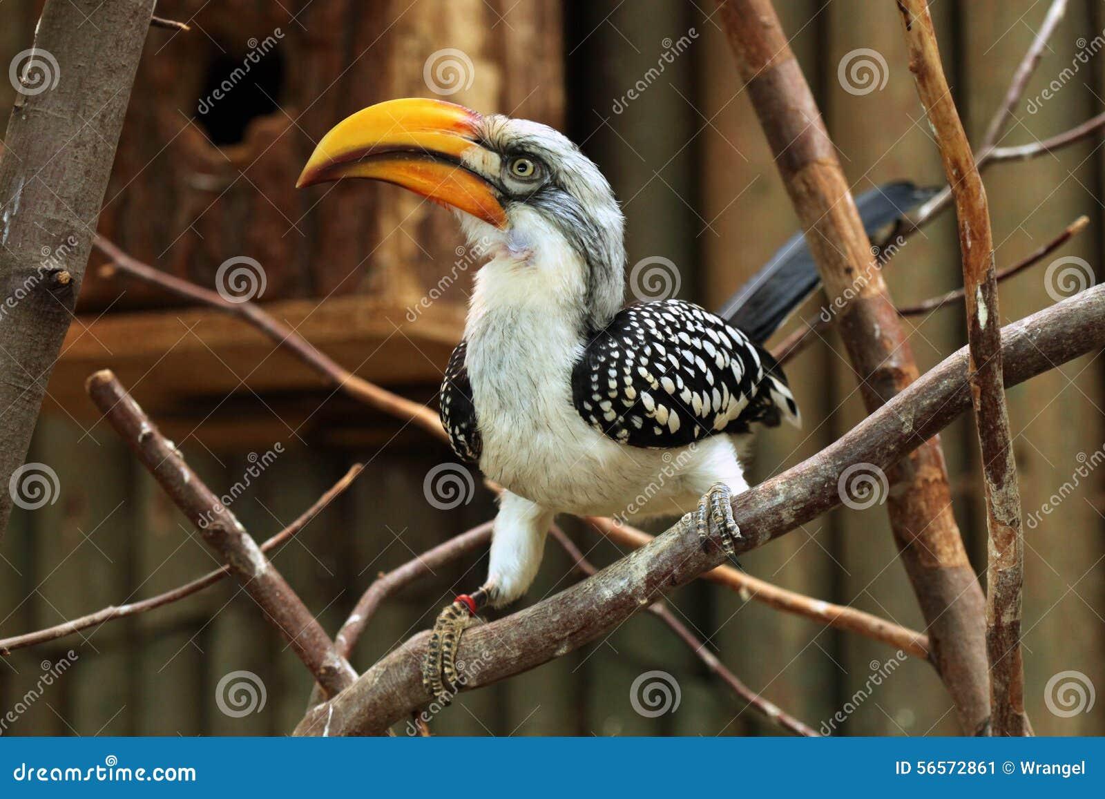 Download Ανατολικό κίτρινος-τιμολογημένο Hornbill (Tockus Flavirostris) Στοκ Εικόνα - εικόνα από ζωικός, αφρικανικά: 56572861