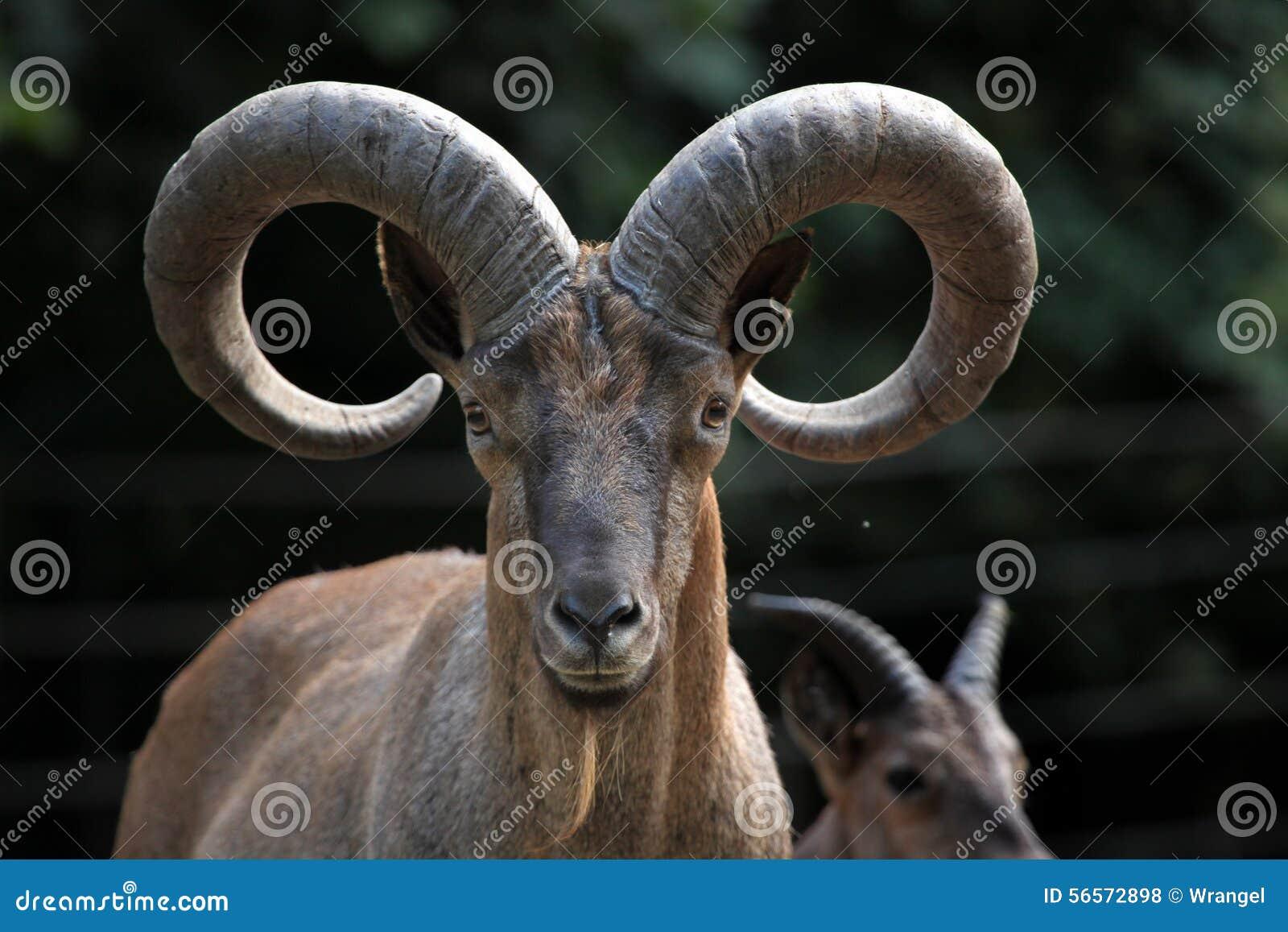 Download Ανατολικό καυκάσιο Tur (cylindricornis Caucasica Capra) Στοκ Εικόνες - εικόνα από ρωσία, θηλαστικά: 56572898