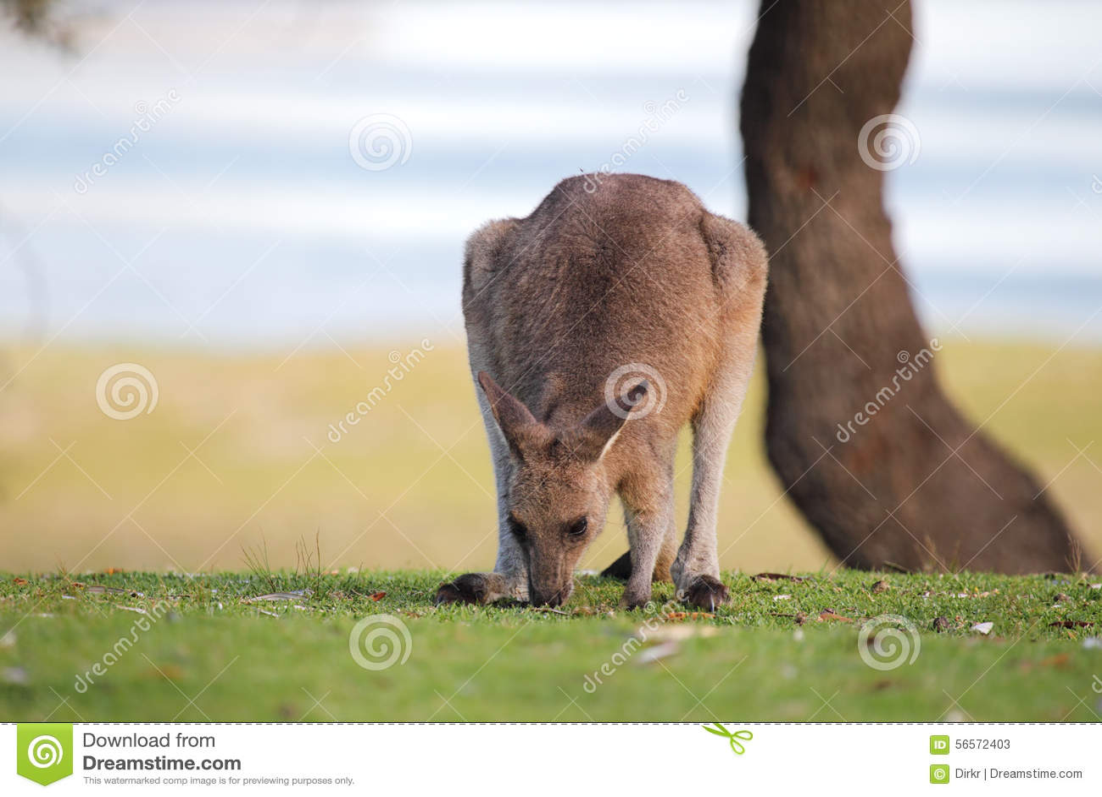 Download ανατολικό Macropus καγκουρό Giganteus &g Στοκ Εικόνα - εικόνα από νέος, γκρίζος: 56572403