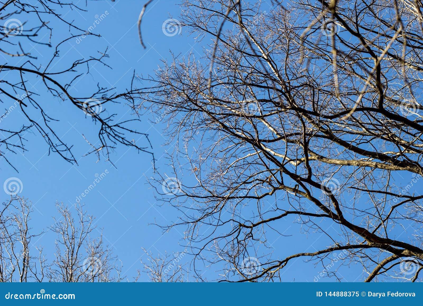 Ανατρέξτε μέσω των δέντρων χωρίς φύλλα το χειμώνα με το μπλε ουρανό