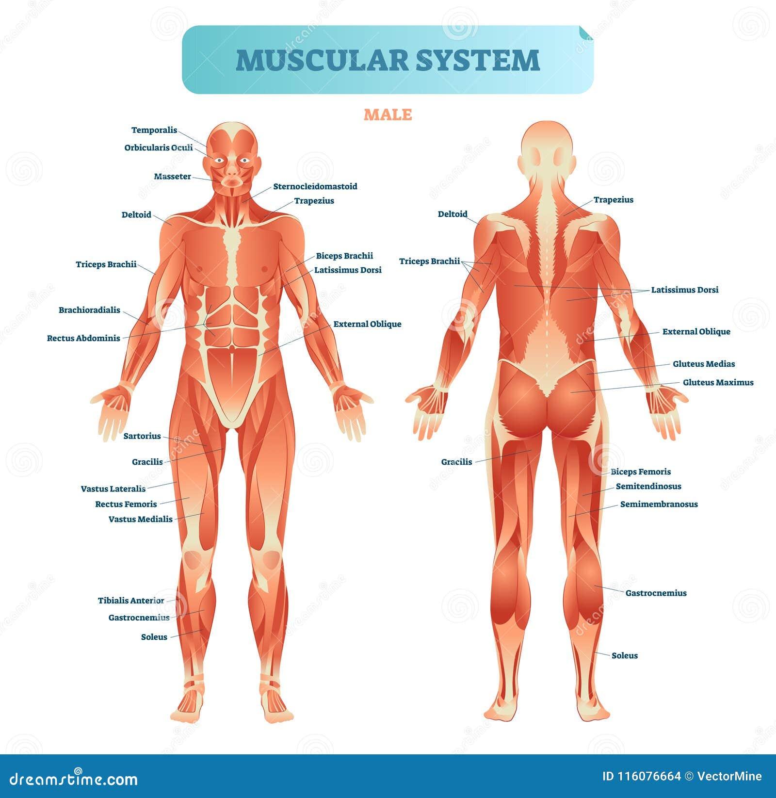 Ανδρικό μυϊκό σύστημα, πλήρες ανατομικό διάγραμμα σωμάτων με το σχέδιο μυών, διανυσματική εκπαιδευτική αφίσα απεικόνισης