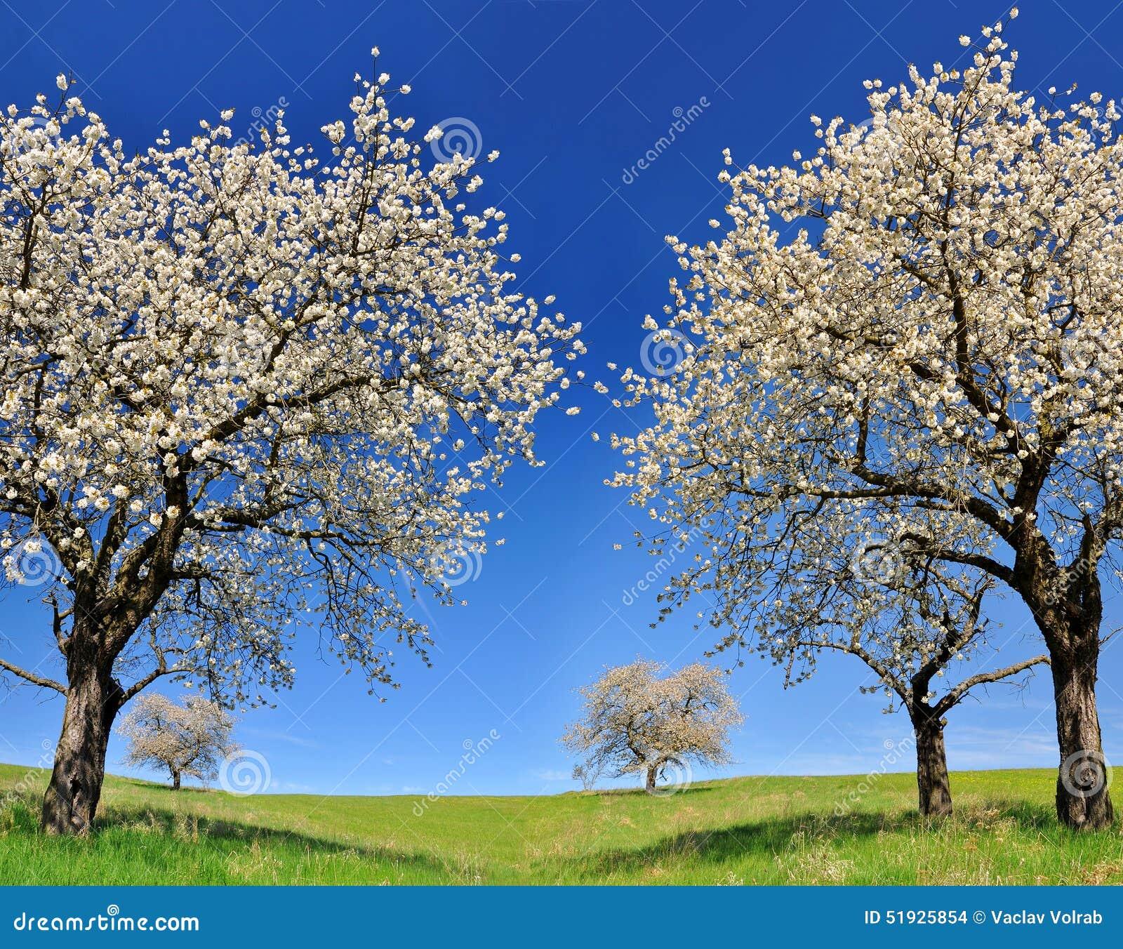 ανθίζοντας δέντρο κερασιών