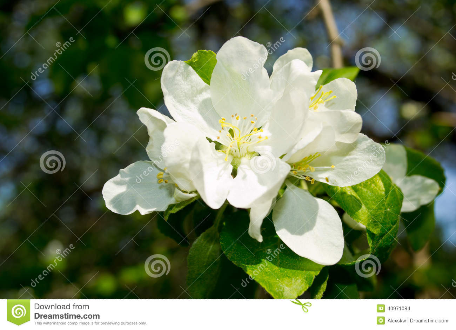 ανθίζοντας δέντρο μήλων