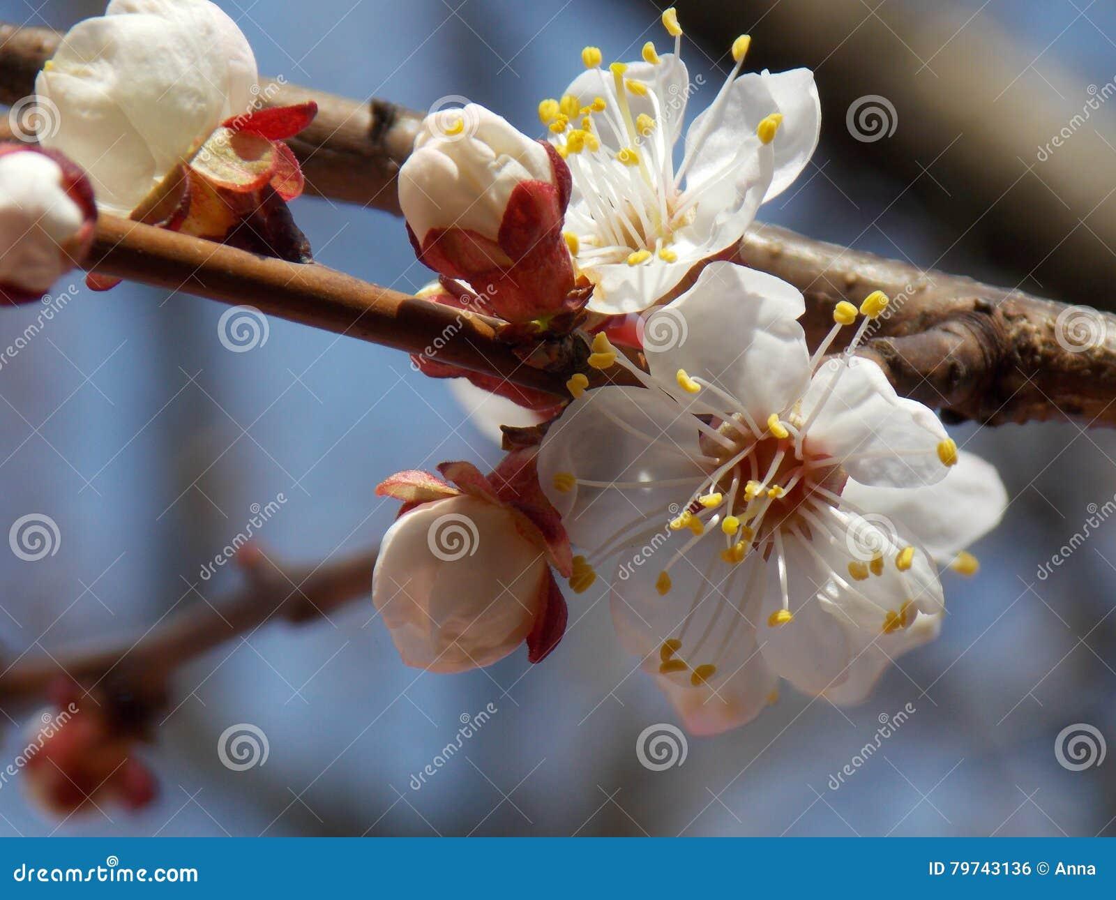 Ανθίζοντας δέντρο μηλιάς