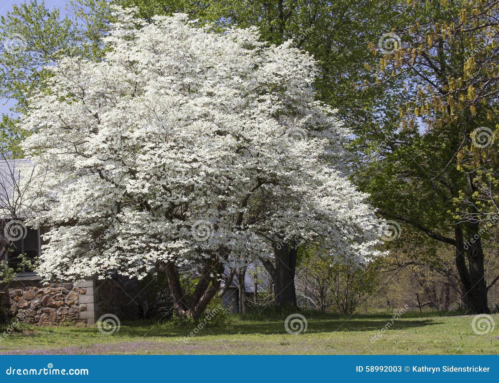 Ανθίζοντας δέντρο Dogwood