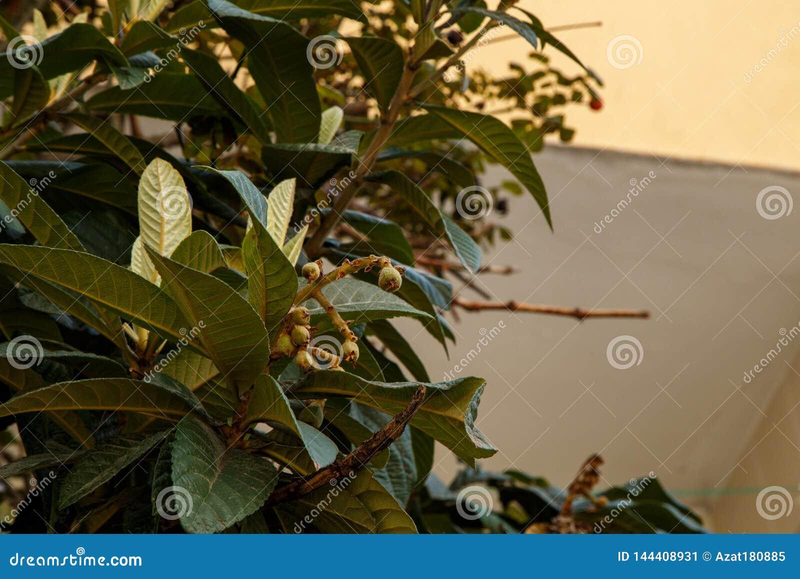 Ανθίζοντας δέντρο Μικρό ΠΙΑΣΙΜΟ