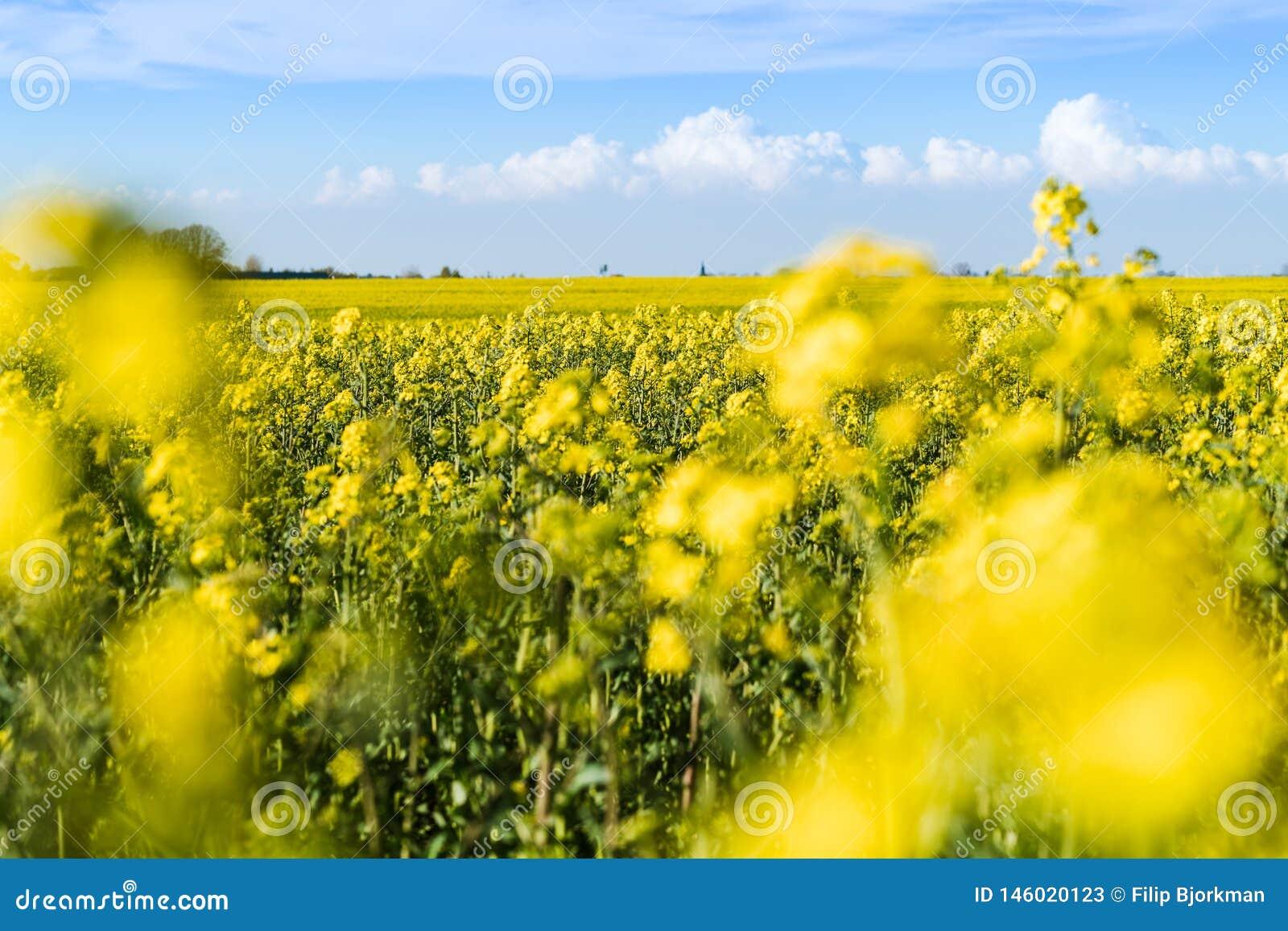 Ανθίζοντας κίτρινος τομέας συναπόσπορων