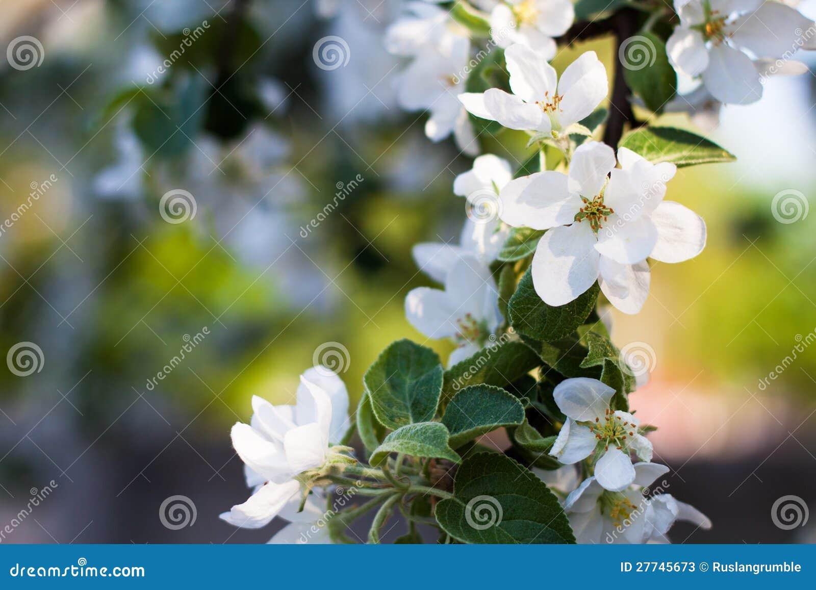 Ανθίζοντας κλάδος δέντρων μηλιάς