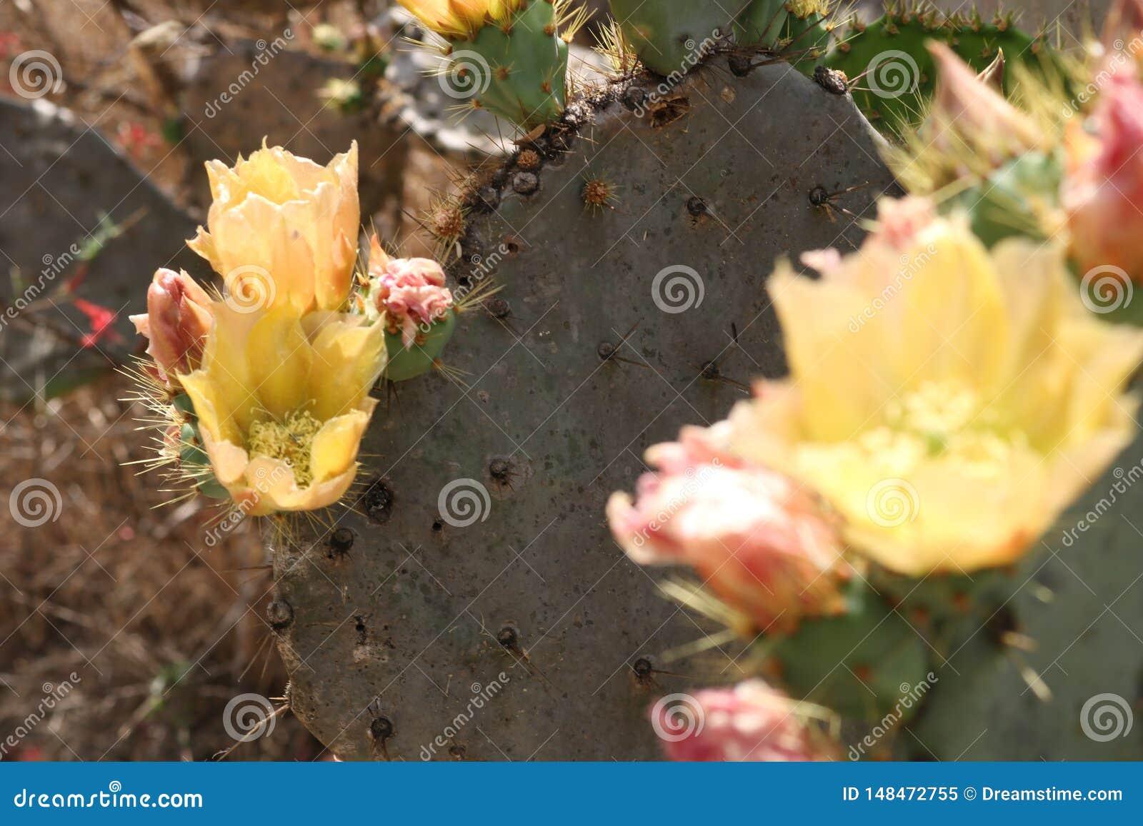 Ανθίζοντας λουλούδια κάκτων