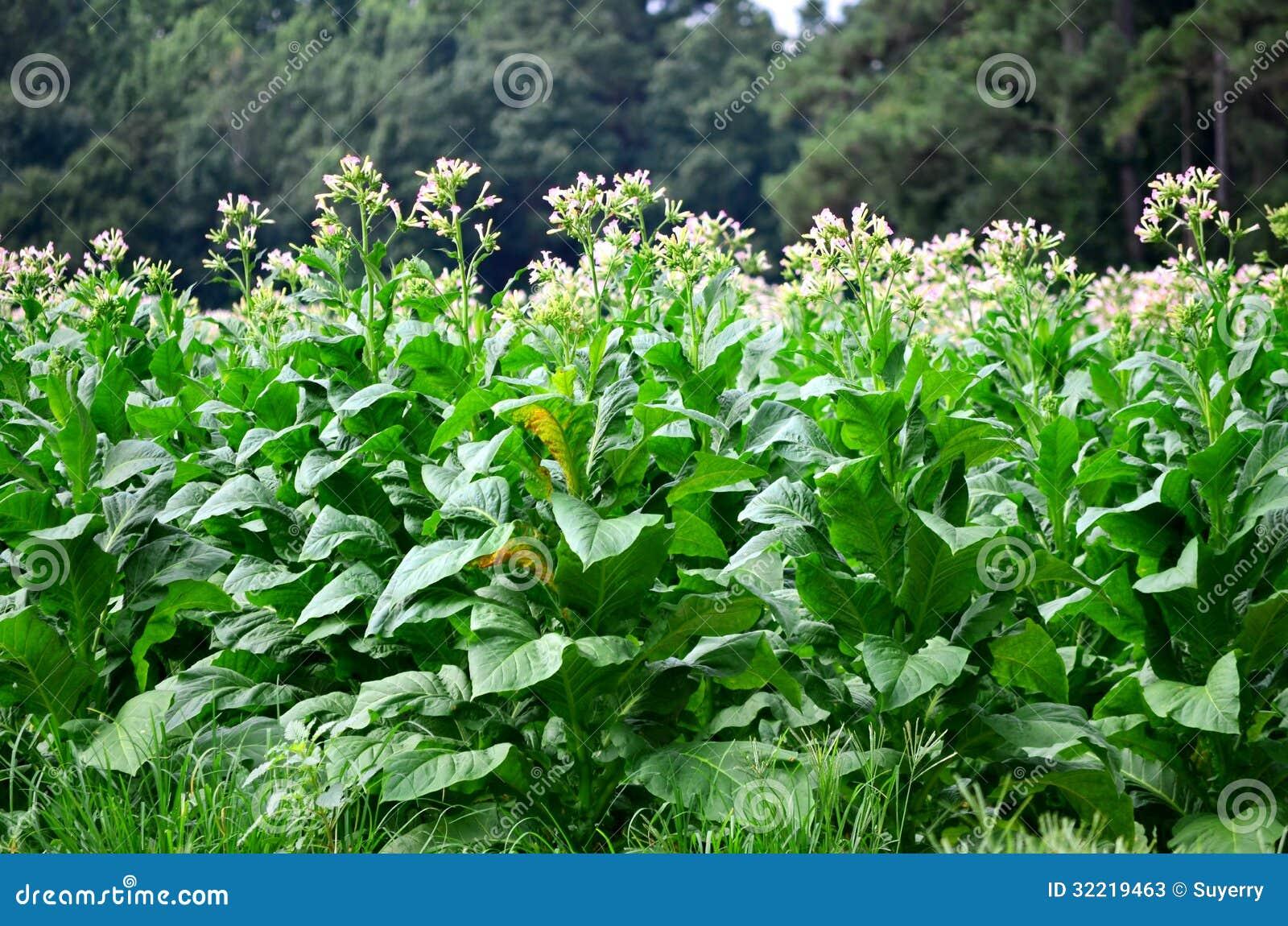 Ανθίζοντας φυτά καπνών στην άνθιση