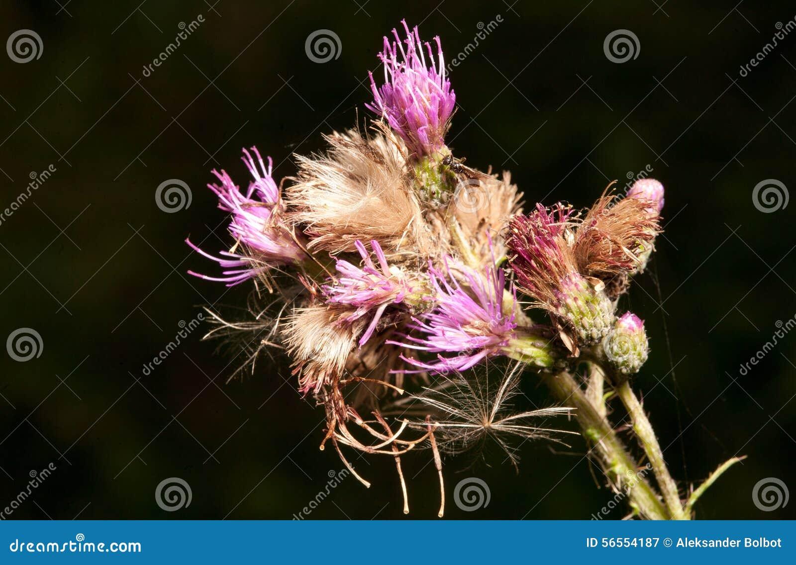 Download Ανθίζοντας φυτό ειδών κάρδων Στοκ Εικόνα - εικόνα από οίστρο, λουλούδι: 56554187