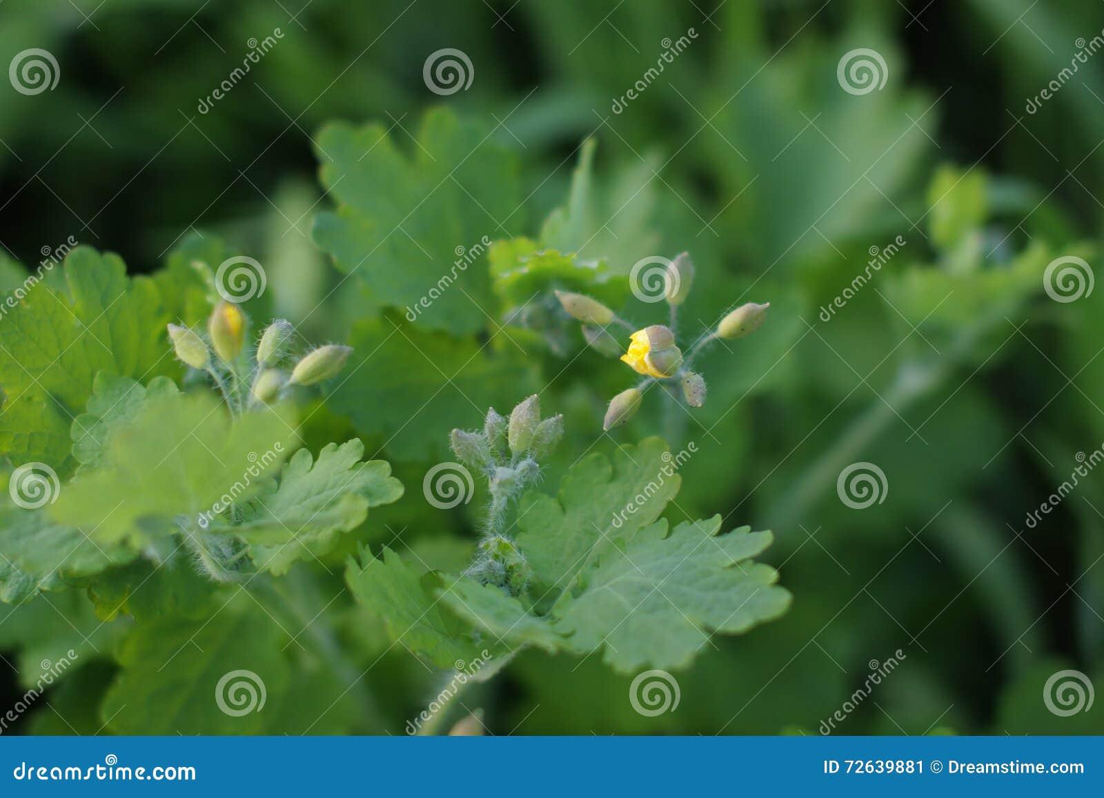 Ανθίζοντας celandine με τους οφθαλμούς στον κήπο