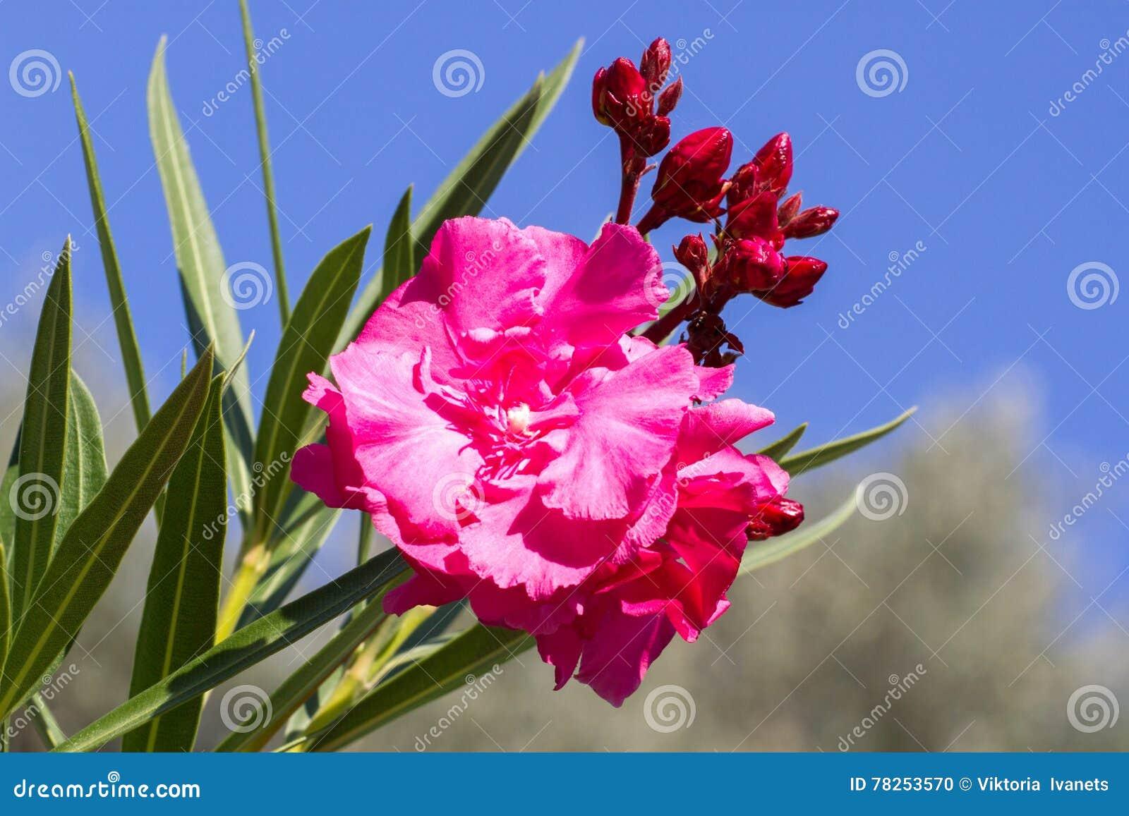 Ανθίζοντας oleander λουλούδι ενάντια στον ουρανό Το μεσογειακό κλίμα
