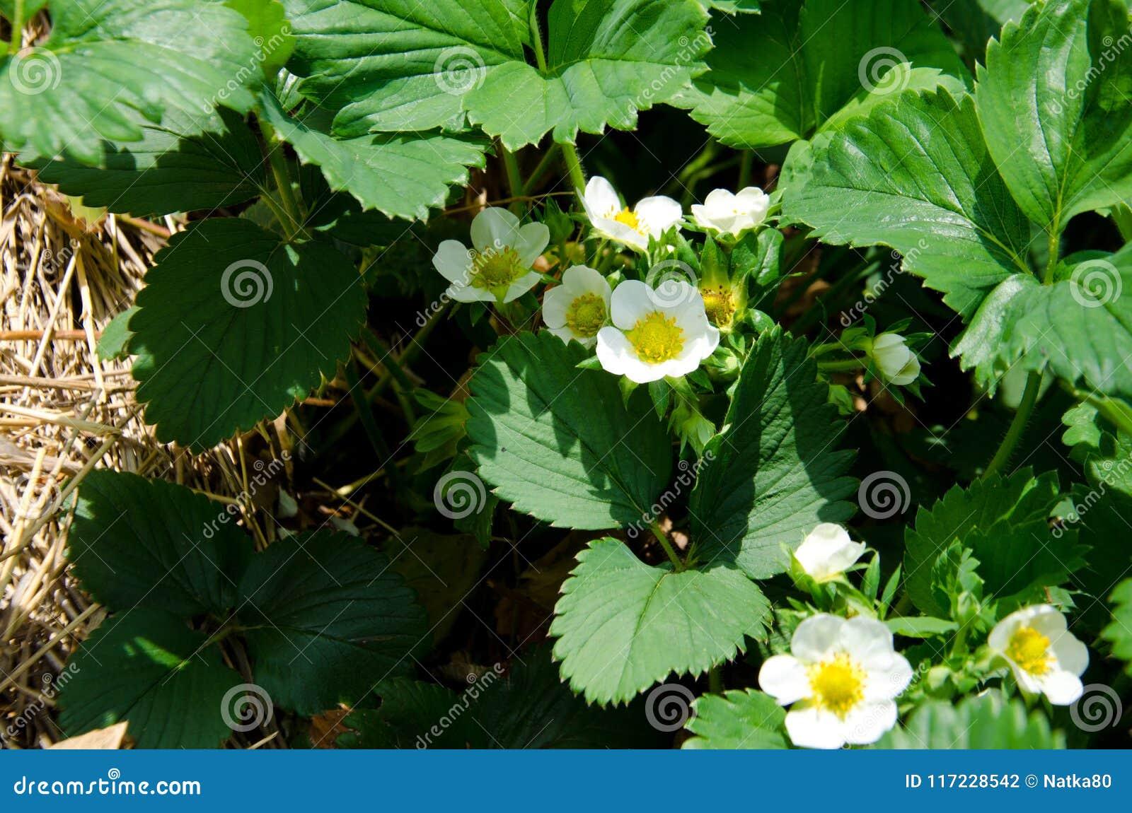 Ανθίσεις φραουλών με τα άσπρα λουλούδια στον κήπο