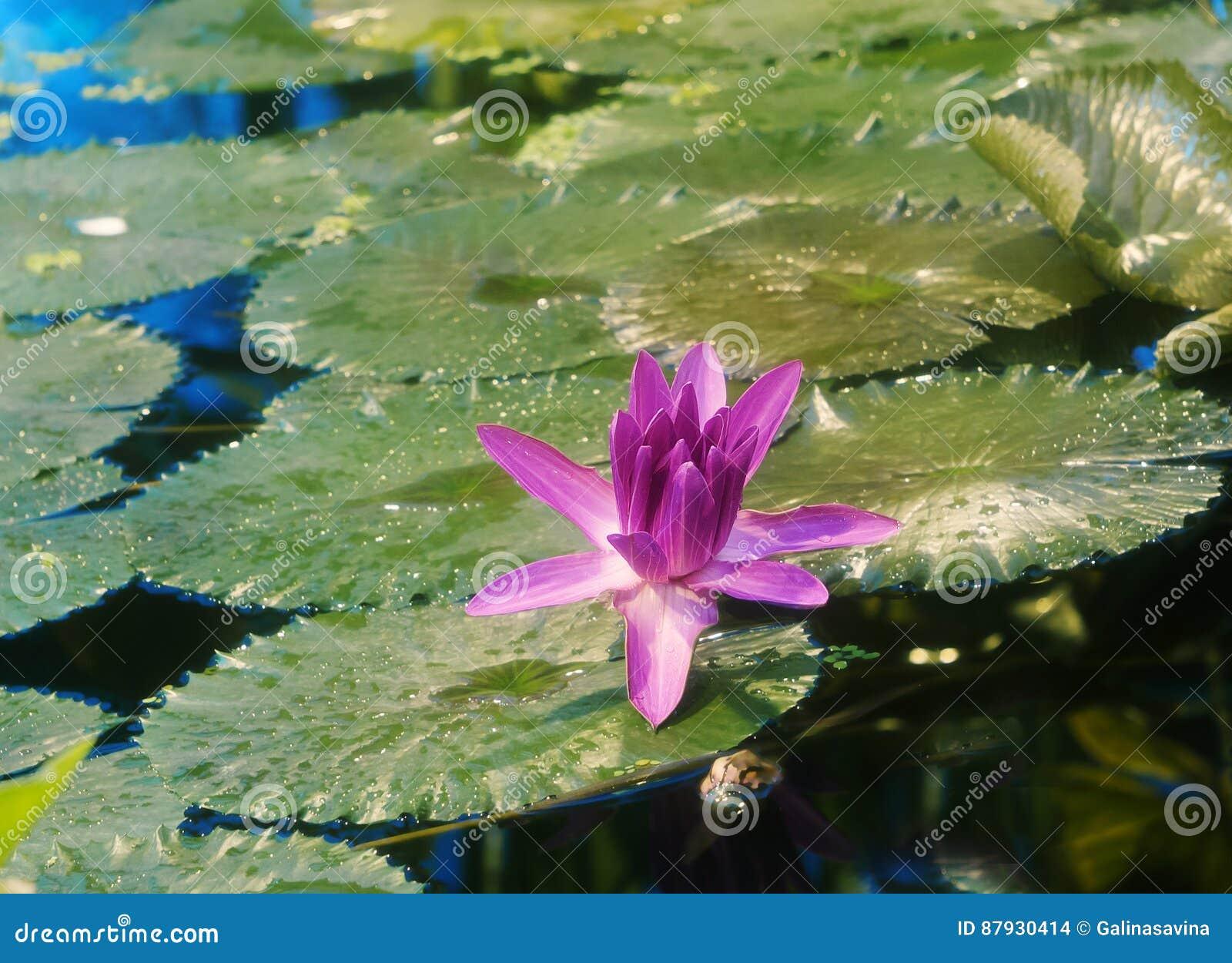 Ανθίστε τον κρίνο Lotus ή νερού