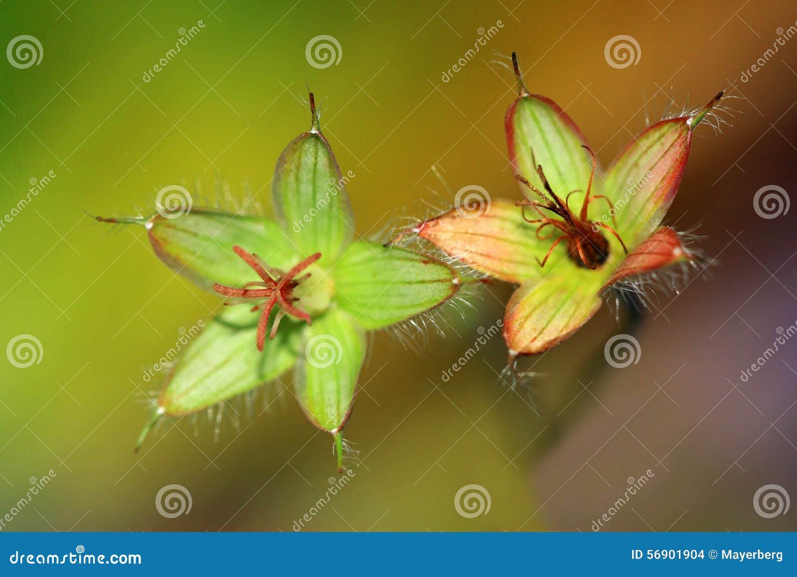 Ανθισμένα λουλούδια γερανιών pratense