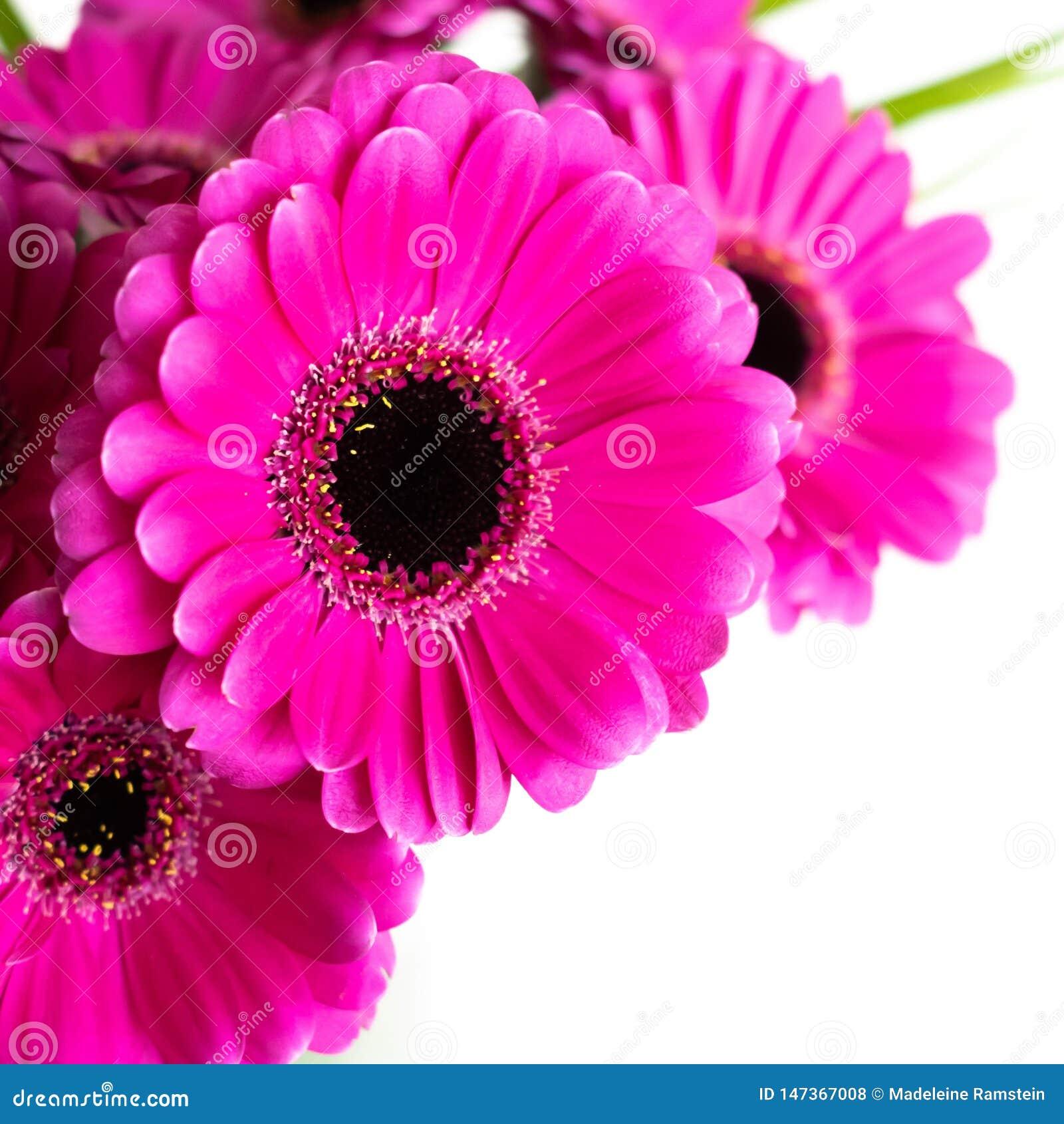 Ανθοδέσμη λουλουδιών Gerbera ροζ/πορφύρας/violette Στο εσωτερικό με το άσπρο υπόβαθρο