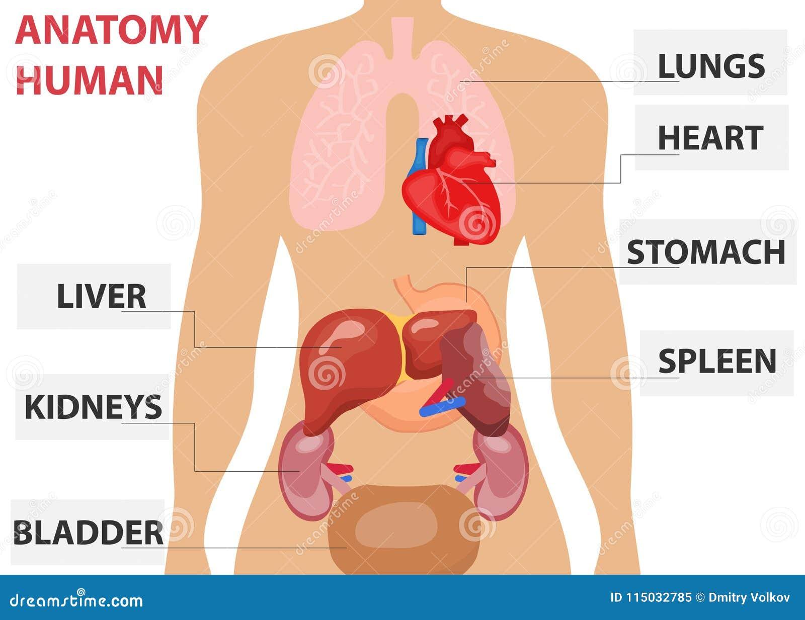 Ανθρώπινα όργανα, η τοποθέτηση των ανθρώπινων οργάνων στο σώμα Ανθρώπινη ανατομία