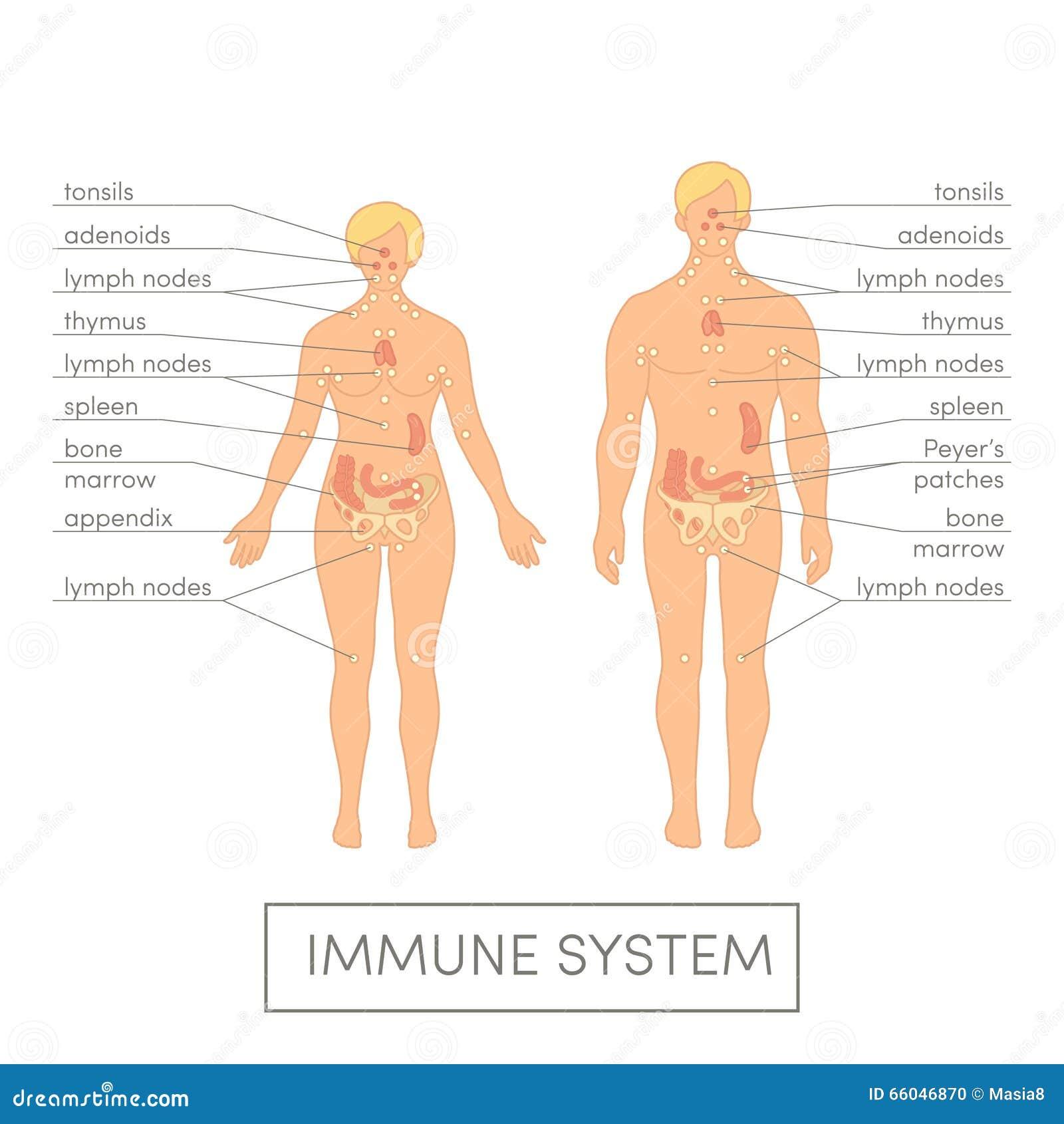 Ανθρώπινο ανοσοποιητικό σύστημα