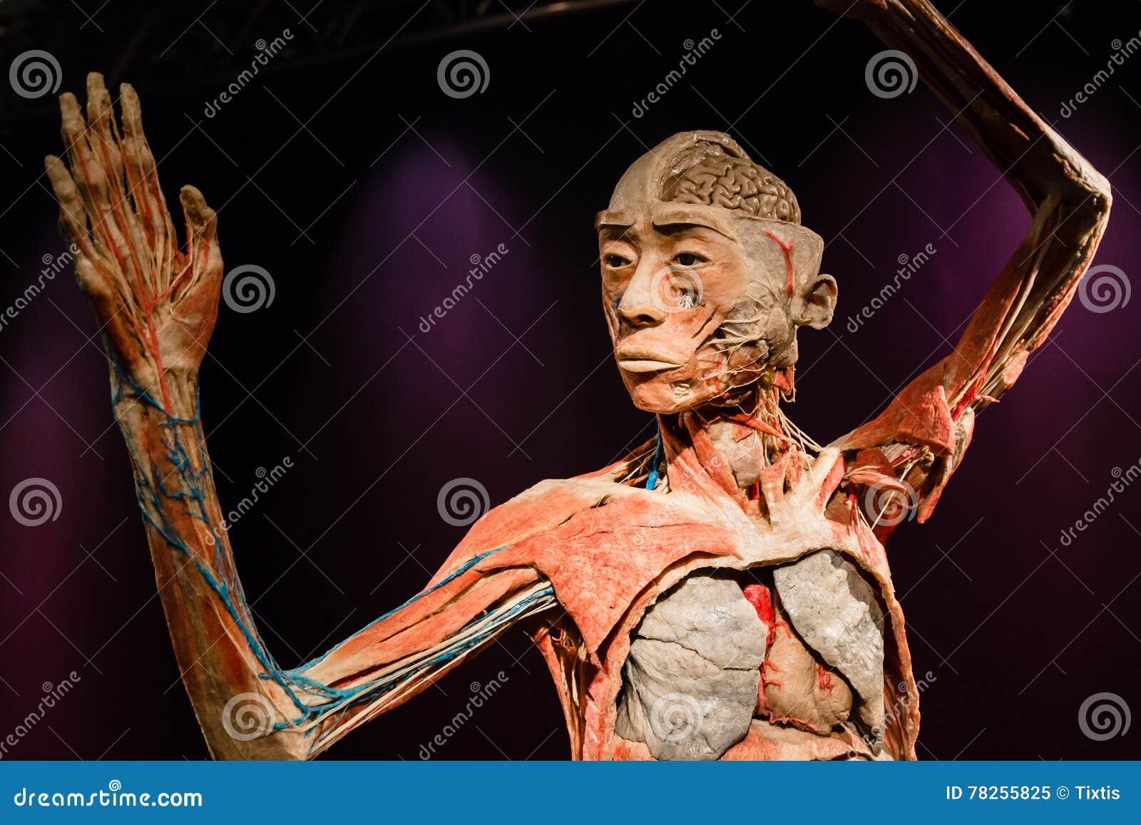 Ανθρώπινο σώμα Plastinated στην επίδειξη