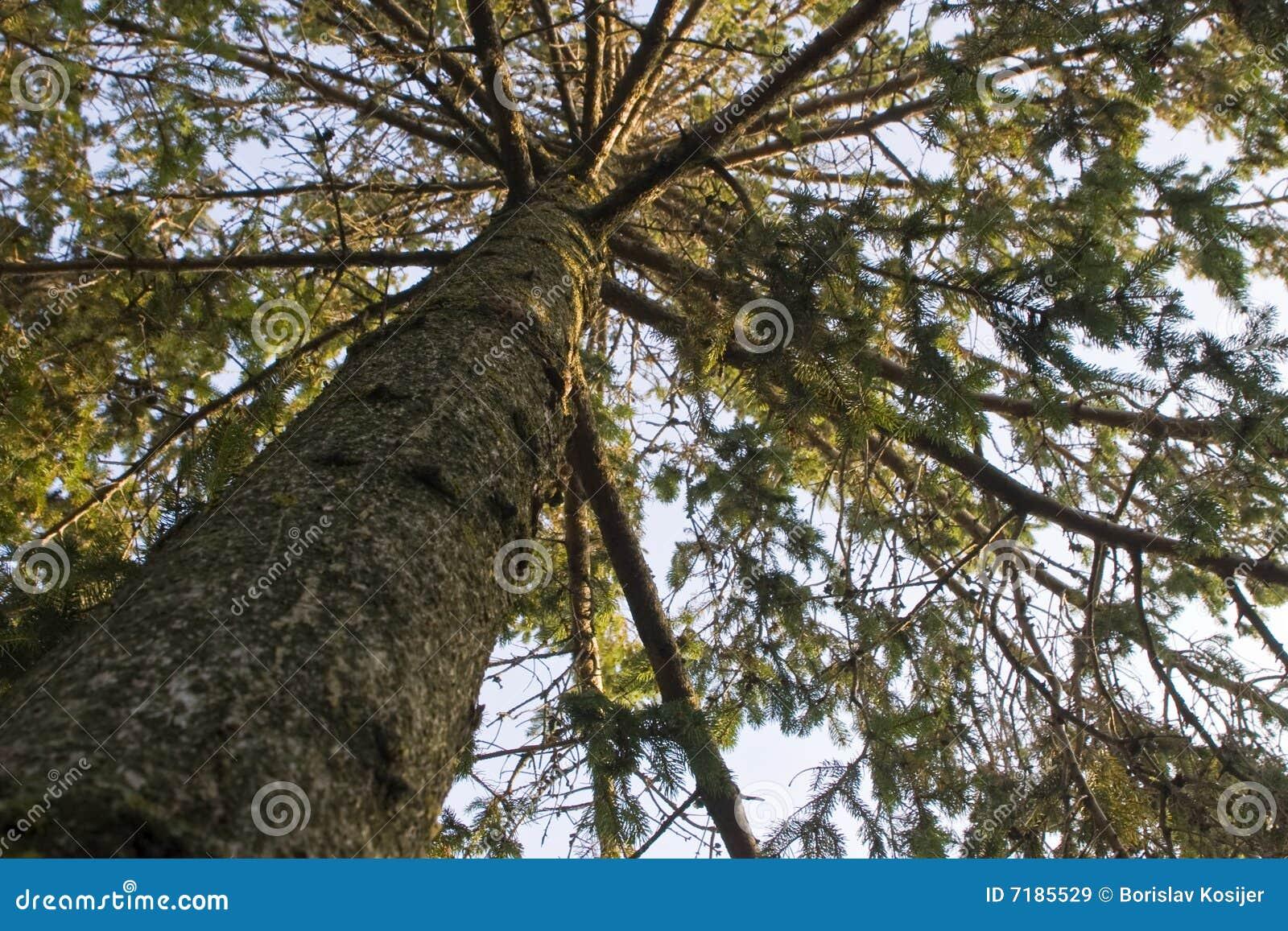 ανοδική όψη δέντρων πεύκων