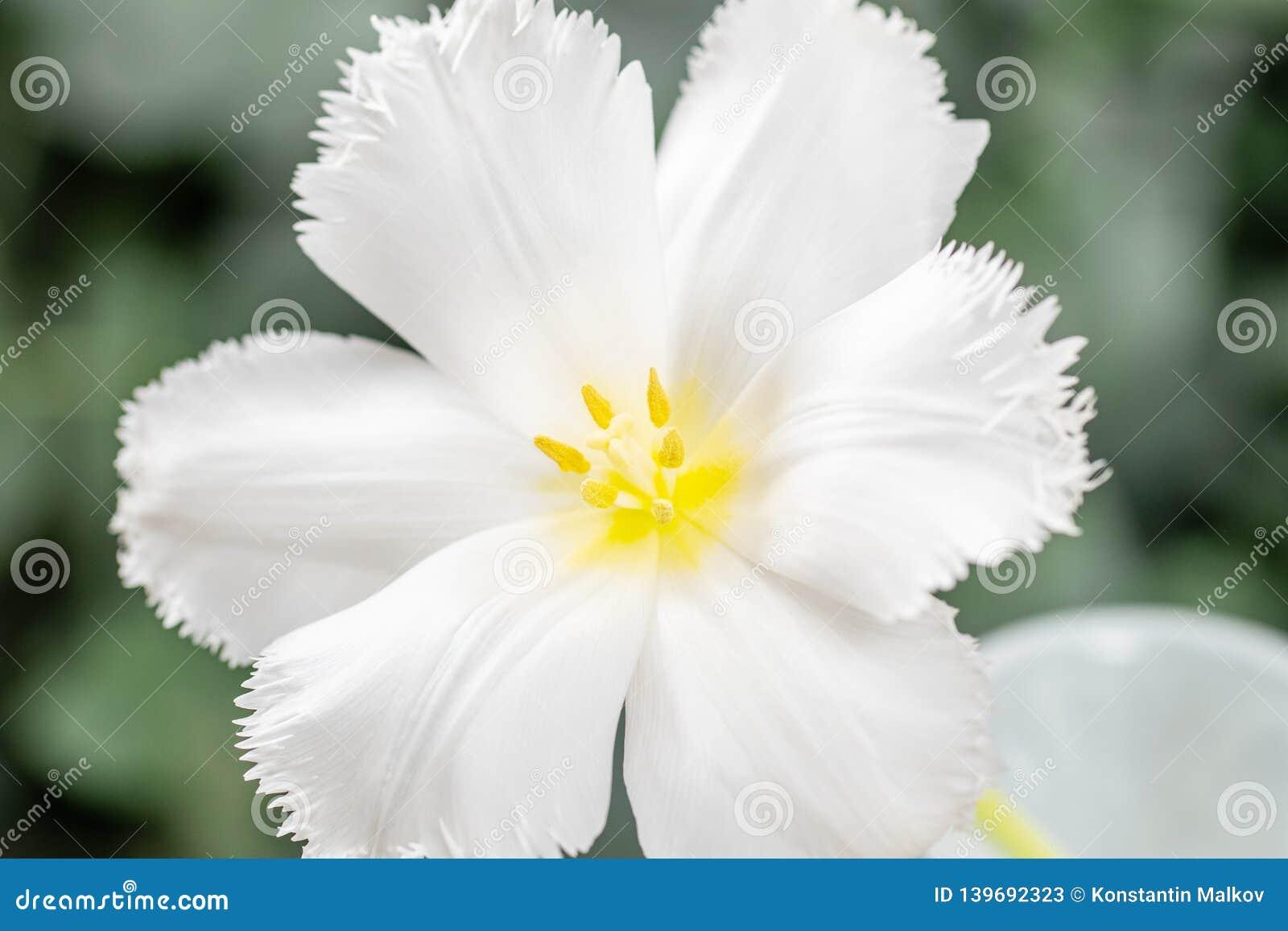 Ανοιγμένος οφθαλμός της ασυνήθιστης άσπρης τουλίπας Λουλούδι με πλαισιωμένος στο φυσικό φύλλωμα το πράσινο υπόβαθρο 9 πολύχρωμες
