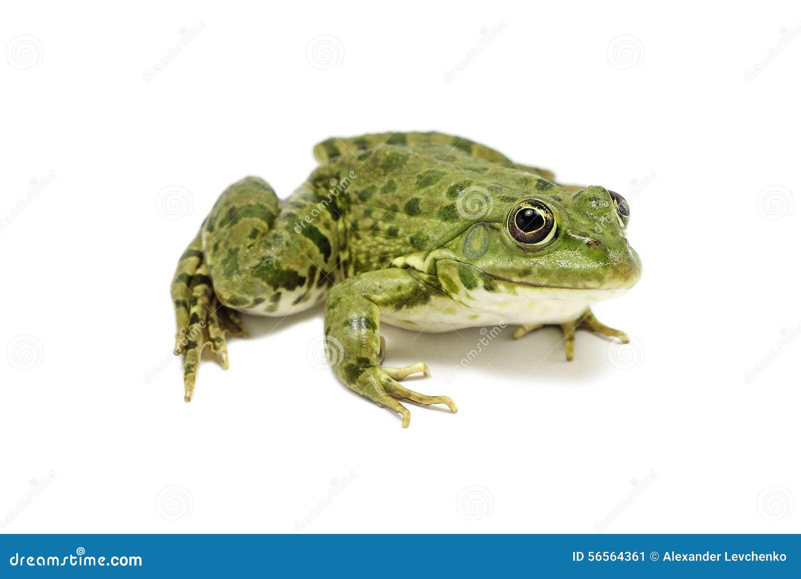 Download Ανοικτό πράσινο βάτραχος στοκ εικόνα. εικόνα από έξυπνο - 56564361