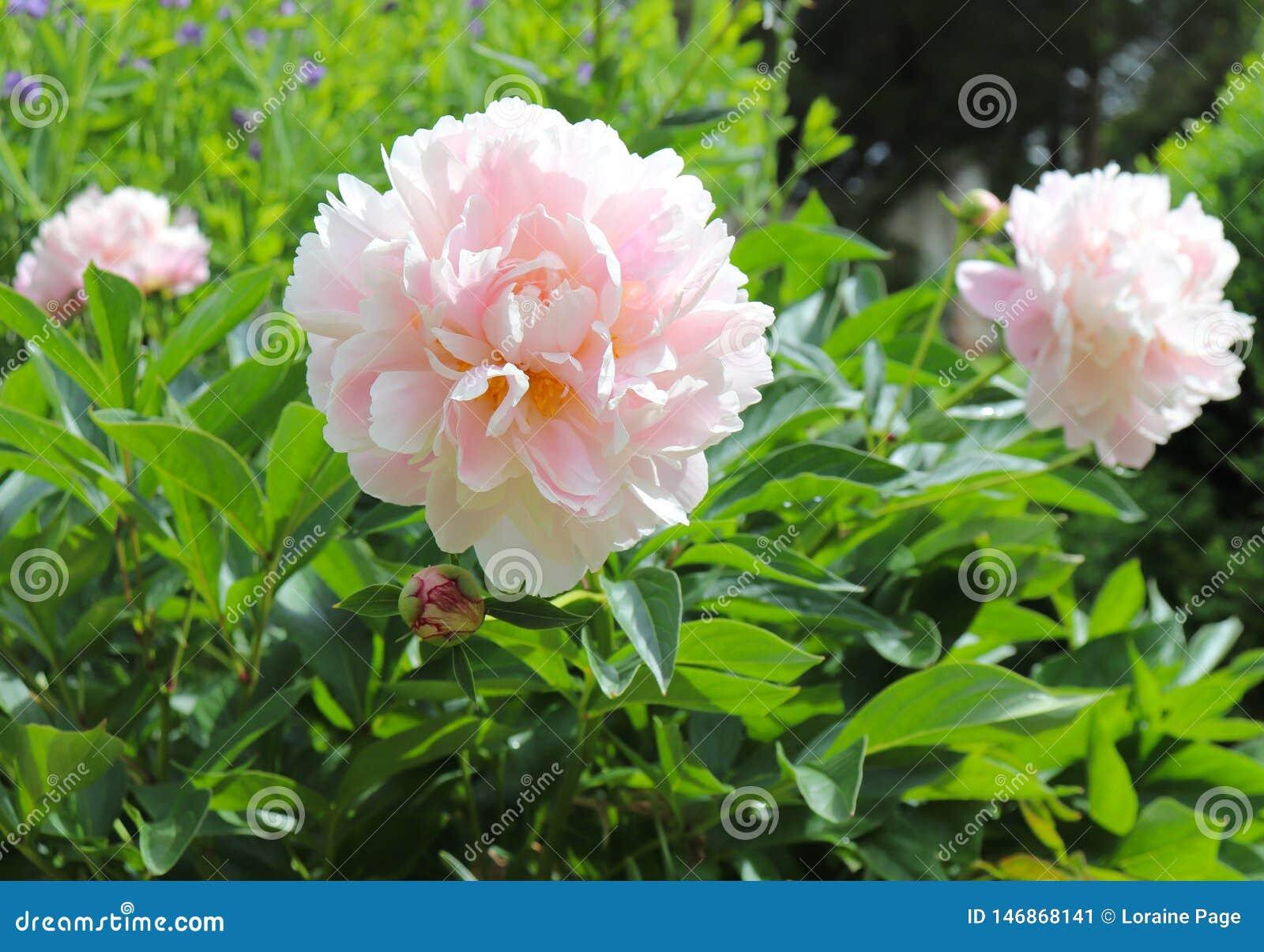 Ανοικτό ροζ Peonies λαμπρύνει επάνω τον κήπο την άνοιξη
