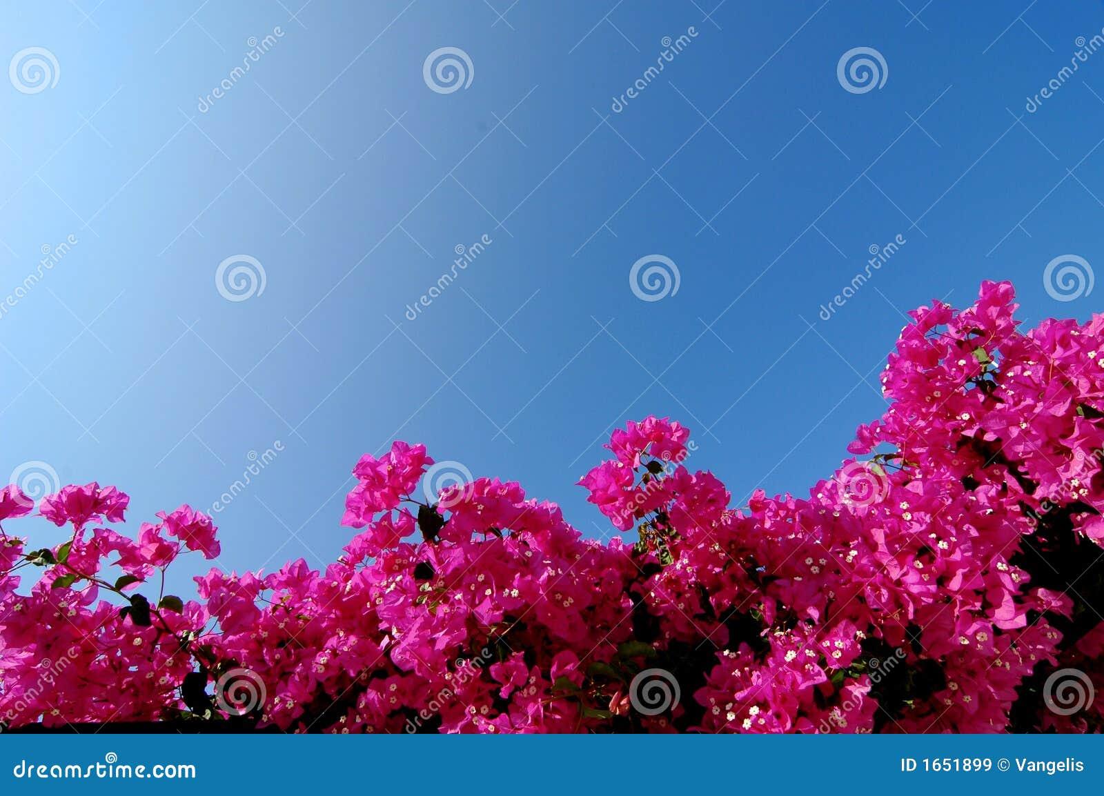 ανοιχτό ροζ bougainvillea
