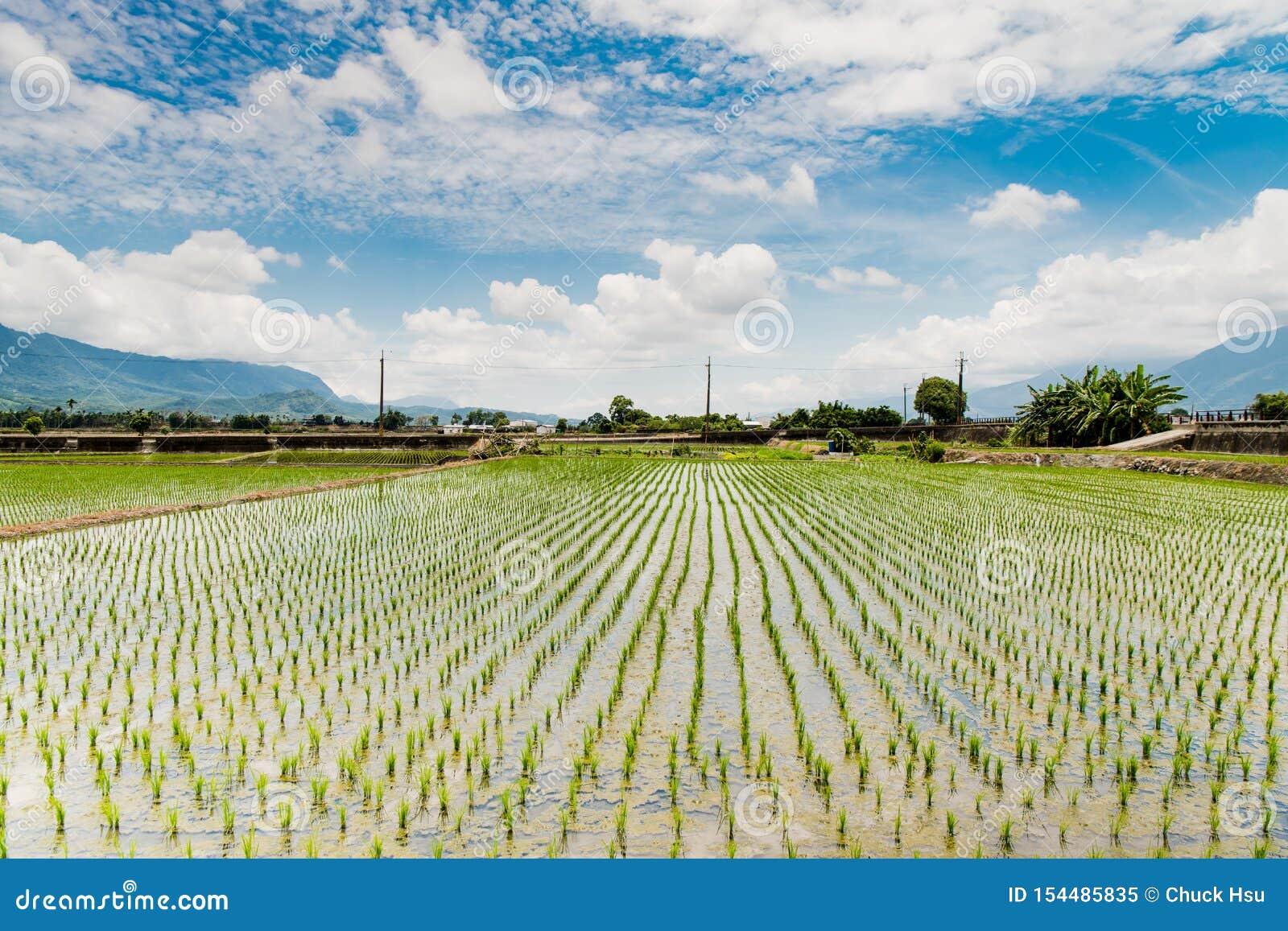 Αντανάκλαση των τομέων ορυζώνα, όμορφο φυσικό τοπίο των πράσινων τομέων ρυζιού σε αγροτικό Chishang, Taitung, Ταϊβάν