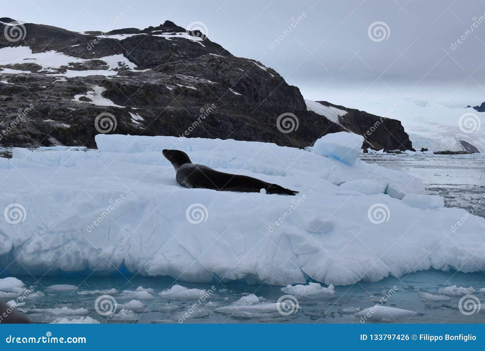 Ανταρκτική, σφραγίδα λεοπαρδάλεων Α σε ένα παγόβουνο