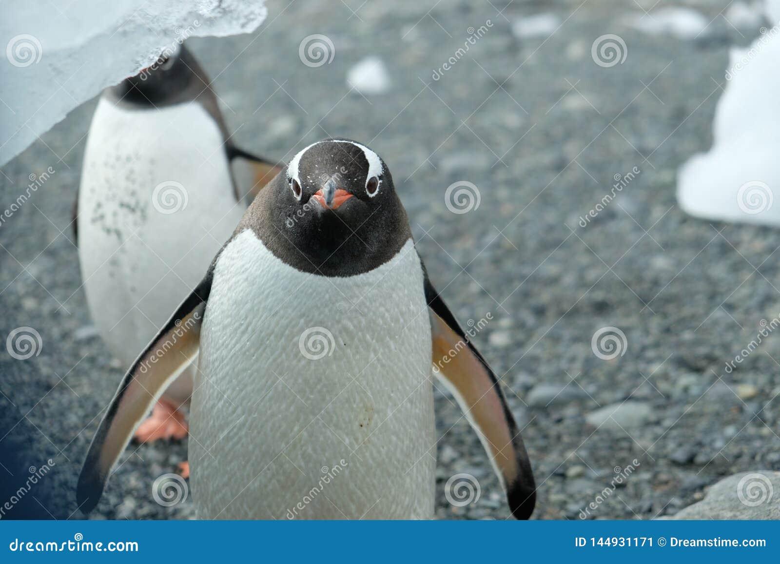Ανταρκτική Gentoo penguins περίεργα που προσέχει από κάτω από ένα παγόβουνο