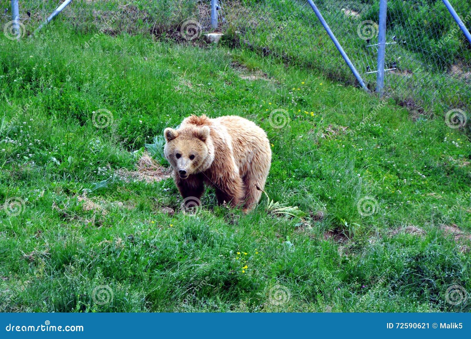 ΑΝΤΕΞΤΕ το ΑΔΥΤΟ κοντά σε Prishtina για τις όλες κρατημένες καφετιές αρκούδες Kosovo's ιδιαιτέρως