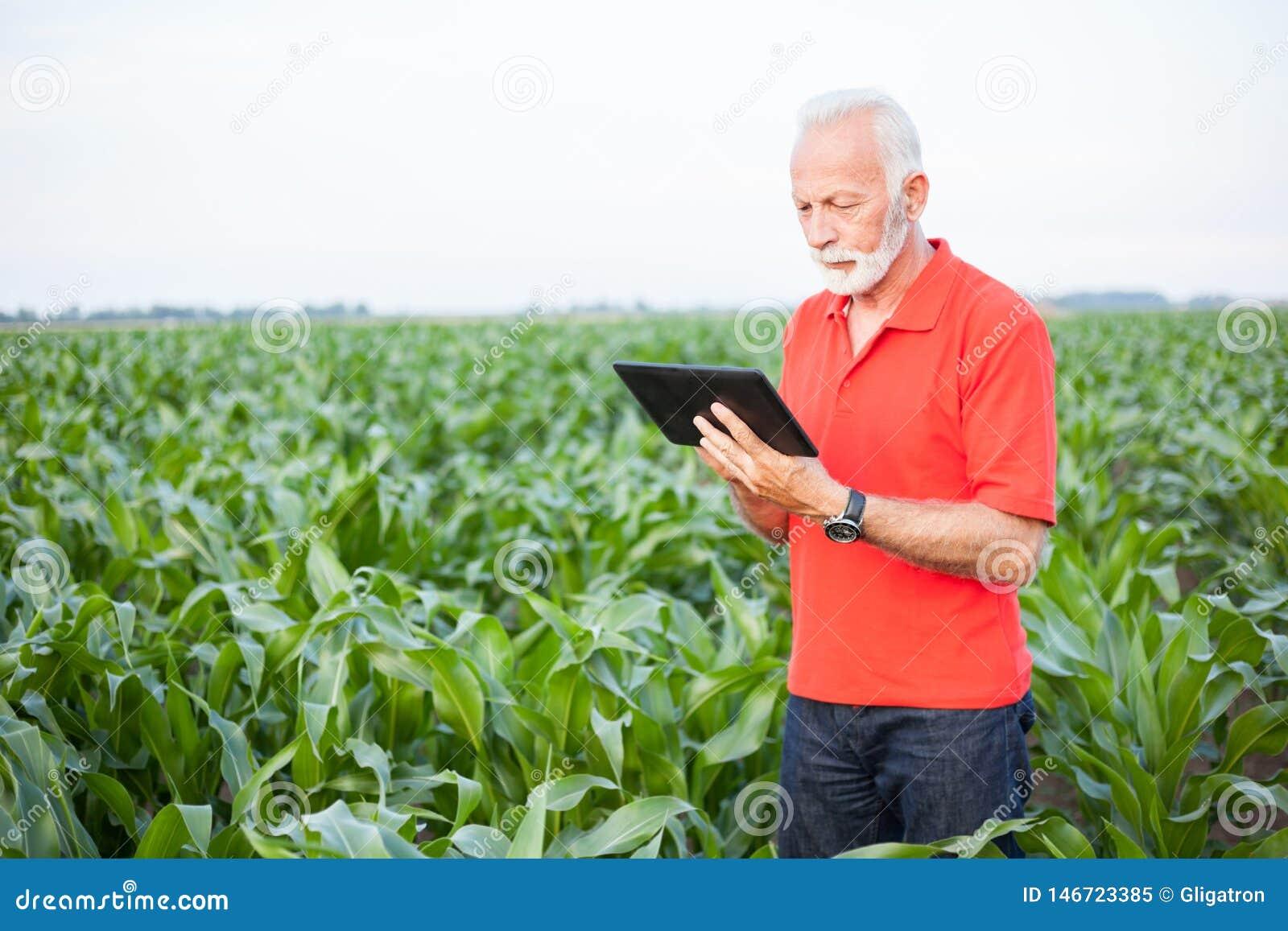 Ανώτερος γεωπόνος ή αγρότης που στέκεται στον τομέα καλαμποκιού και που χρησιμοποιεί μια ταμπλέτα