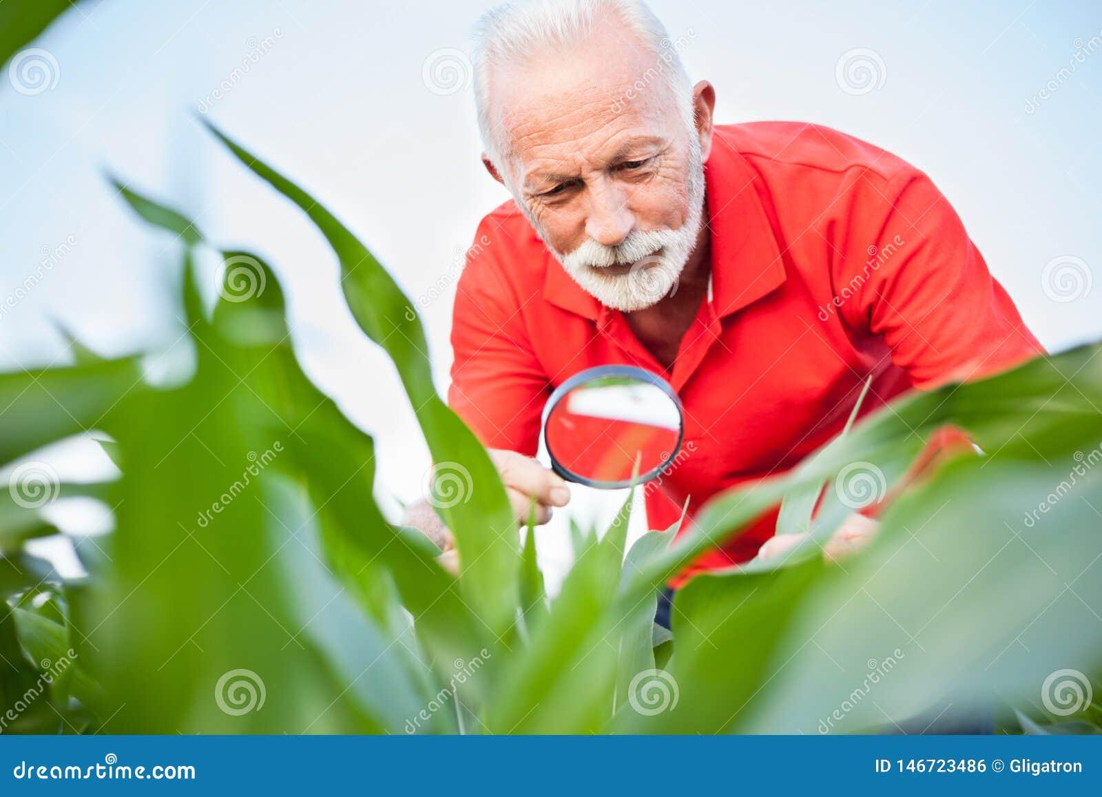 Ανώτερος, γκρίζος μαλλιαρός χαμόγελου, ο γεωπόνος ή ο αγρότης στο κόκκινο πουκάμισο που εξετάζει το καλαμπόκι τα φύλλα σε έναν το