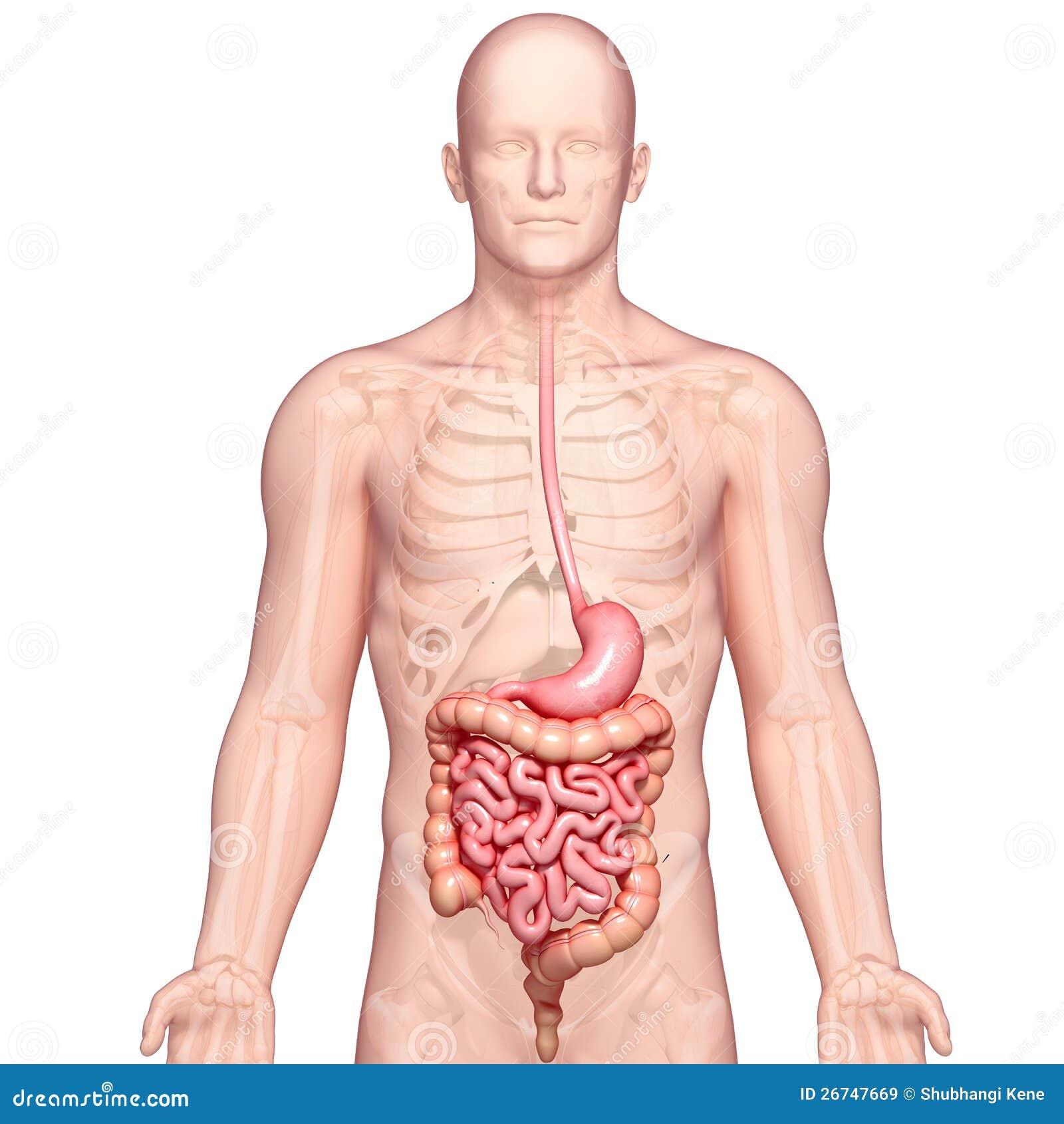Απεικόνιση της ανατομίας του ανθρώπινου στομαχιού με το σώμα