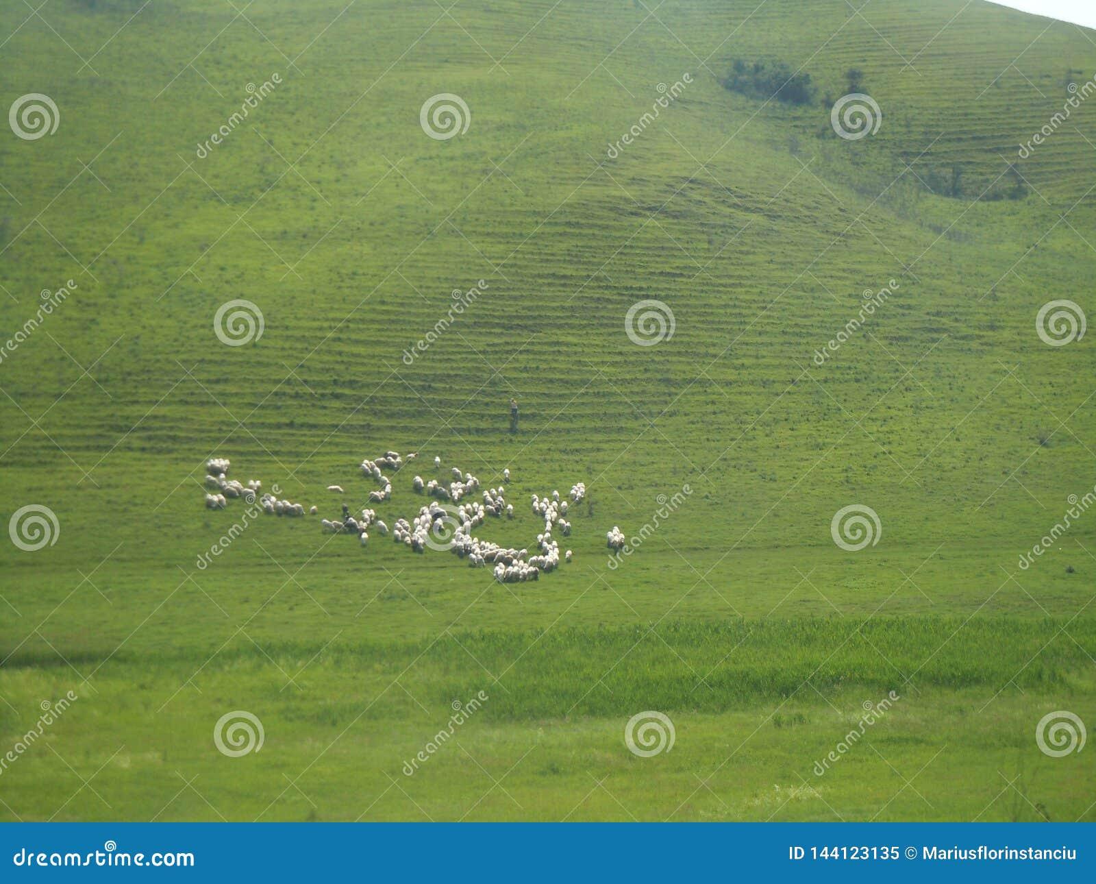 Απεικόνιση των άσπρων προβάτων στον πράσινο λόφο Οικονόμος οθόνης