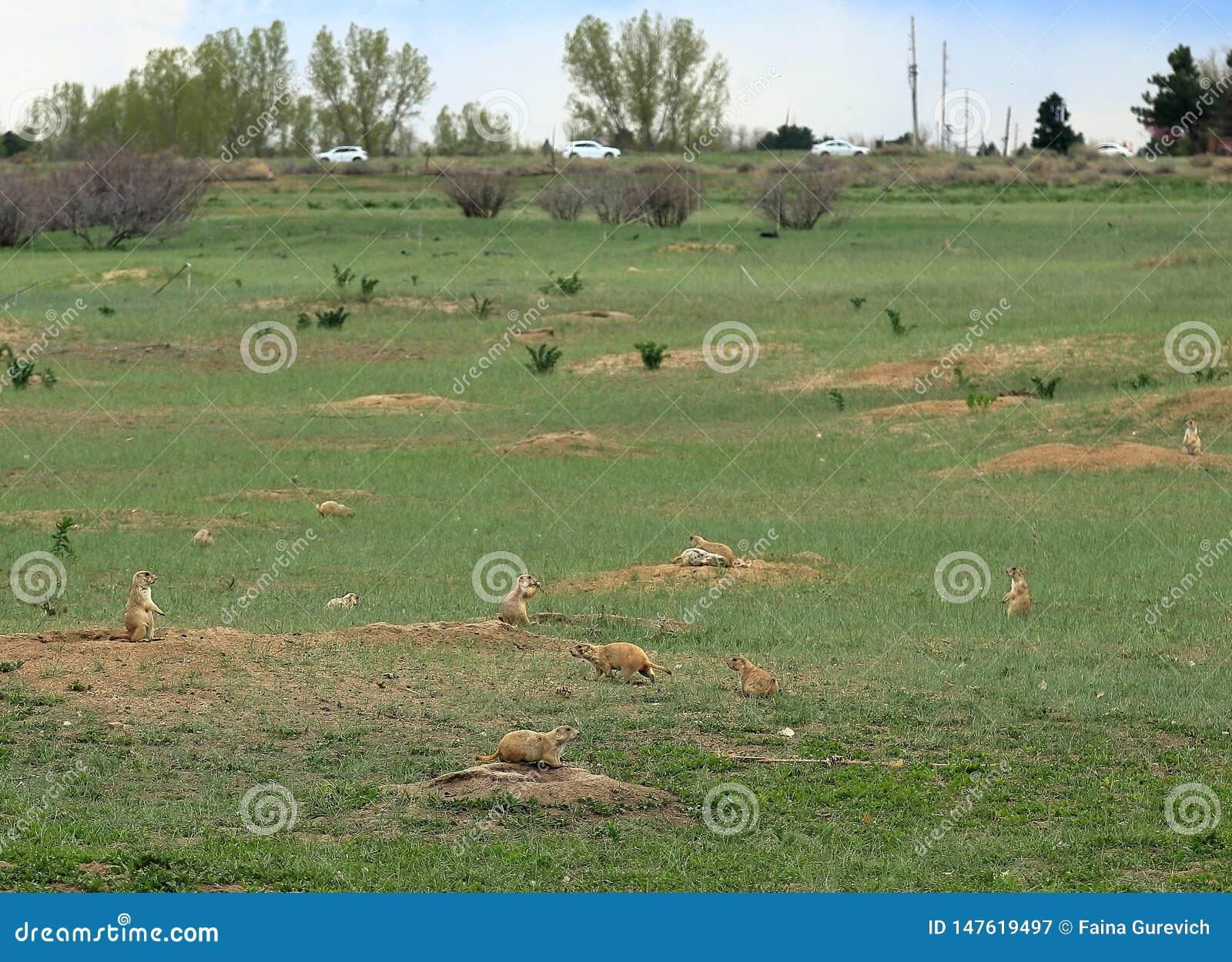 Αποικία σκυλιών λιβαδιών στο κρατικό πάρκο κολπίσκου κερασιών